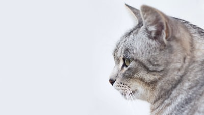 gray and white tabby cat with white background pet teams background