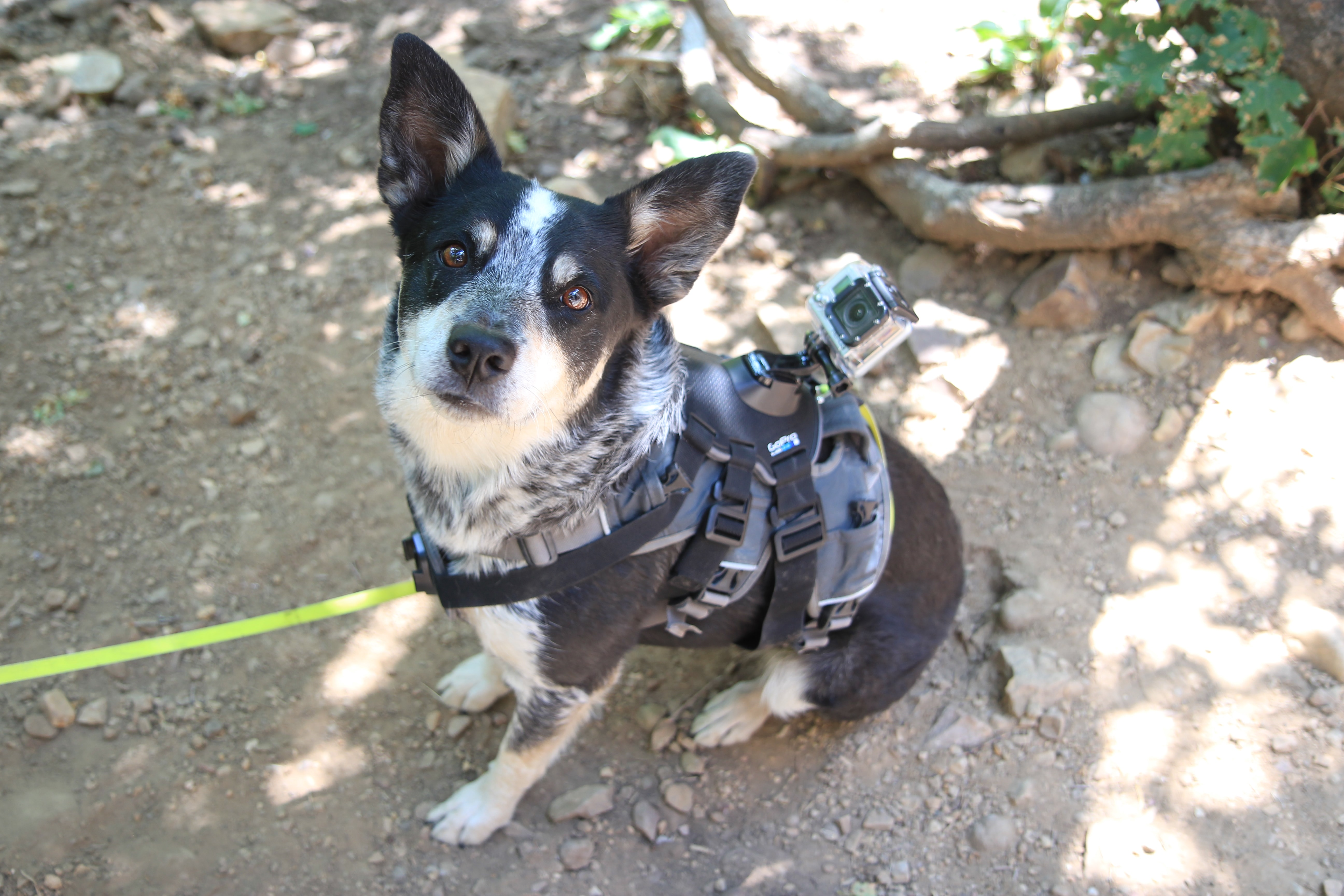 A vested dog tied to a leash, sitting on a hiking trail.