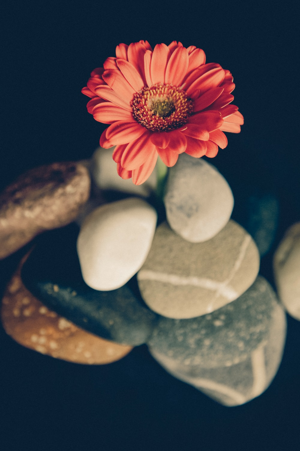 focus photo of red daisy on rock formation