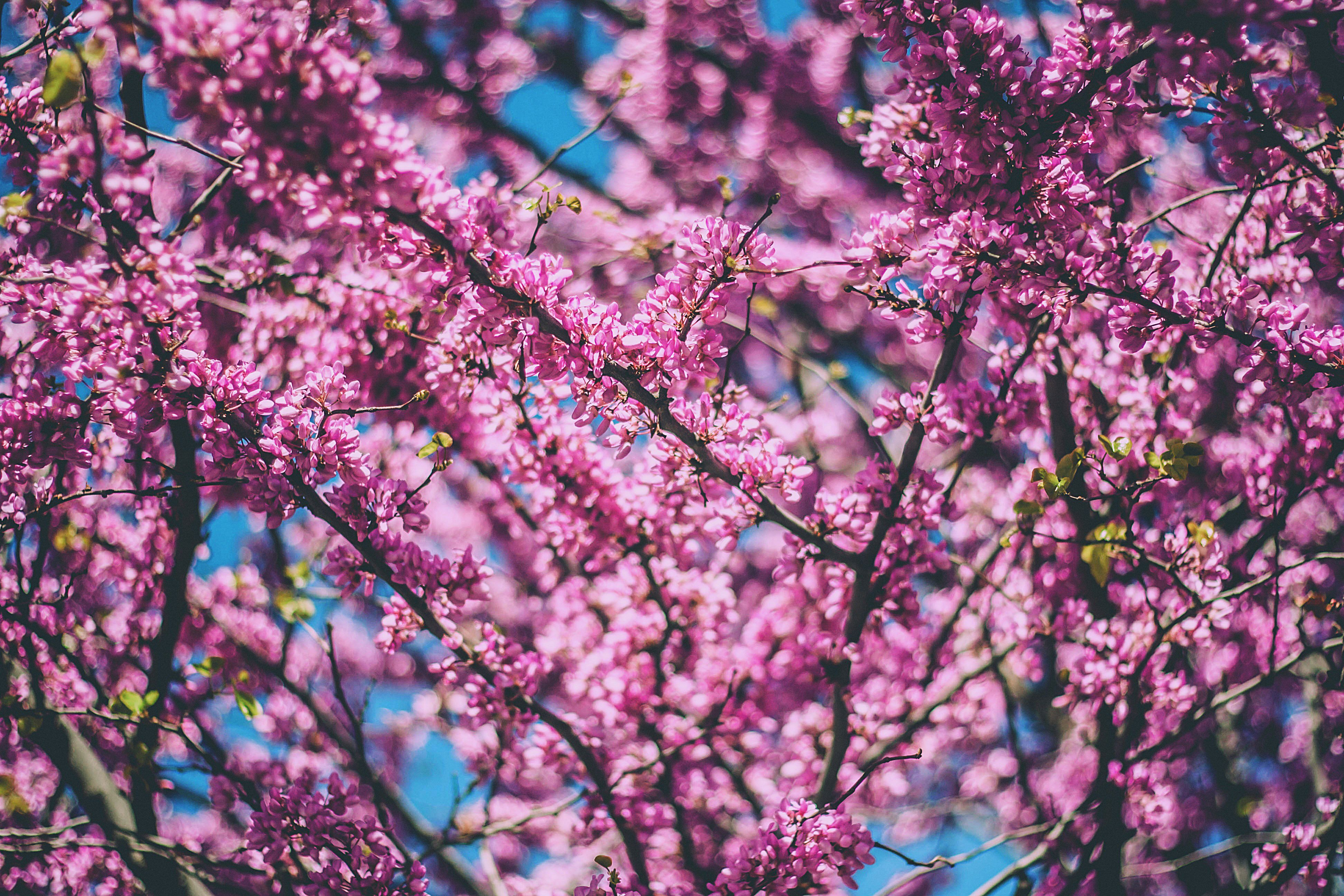 Decorative bright pink blossom tree in bloom in Bahía Blanca
