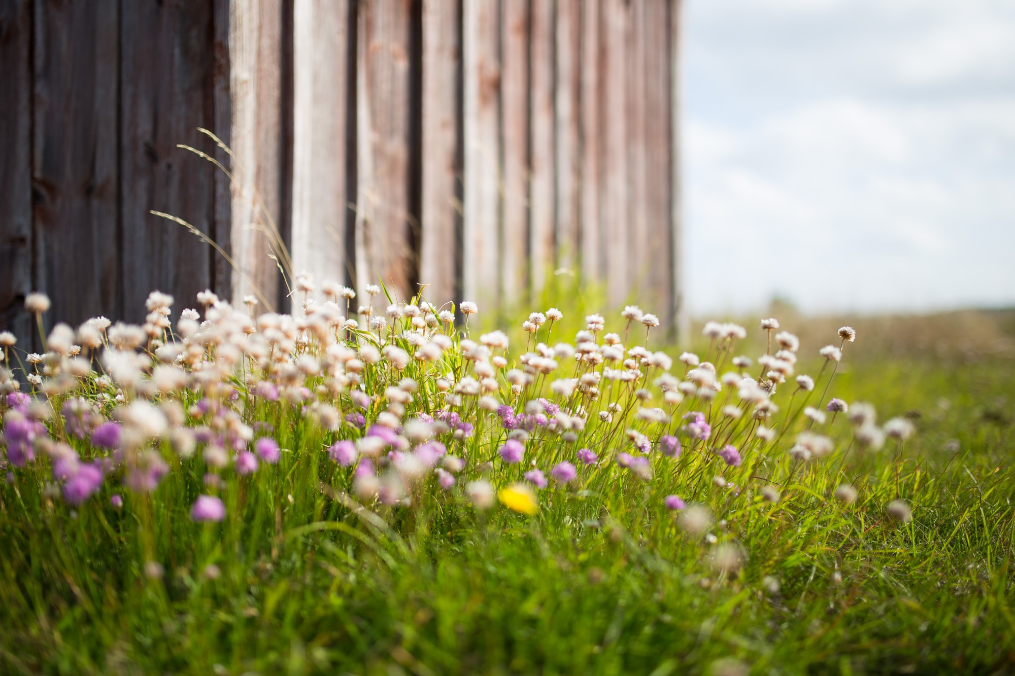 A patch of white and pink wild flowers near a wooden wall