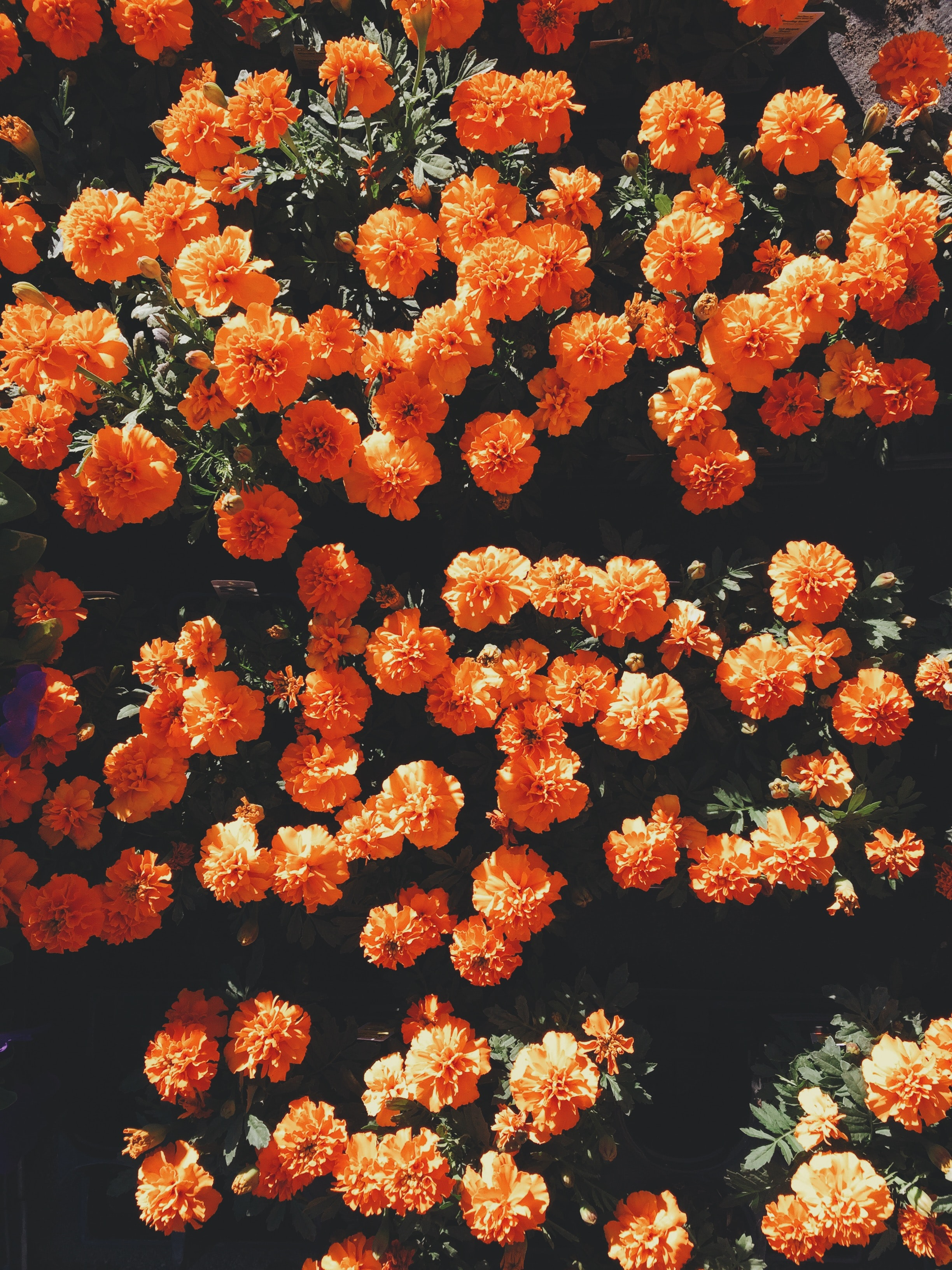 an overhead shot of a vibrant orange flower bed - Flowers