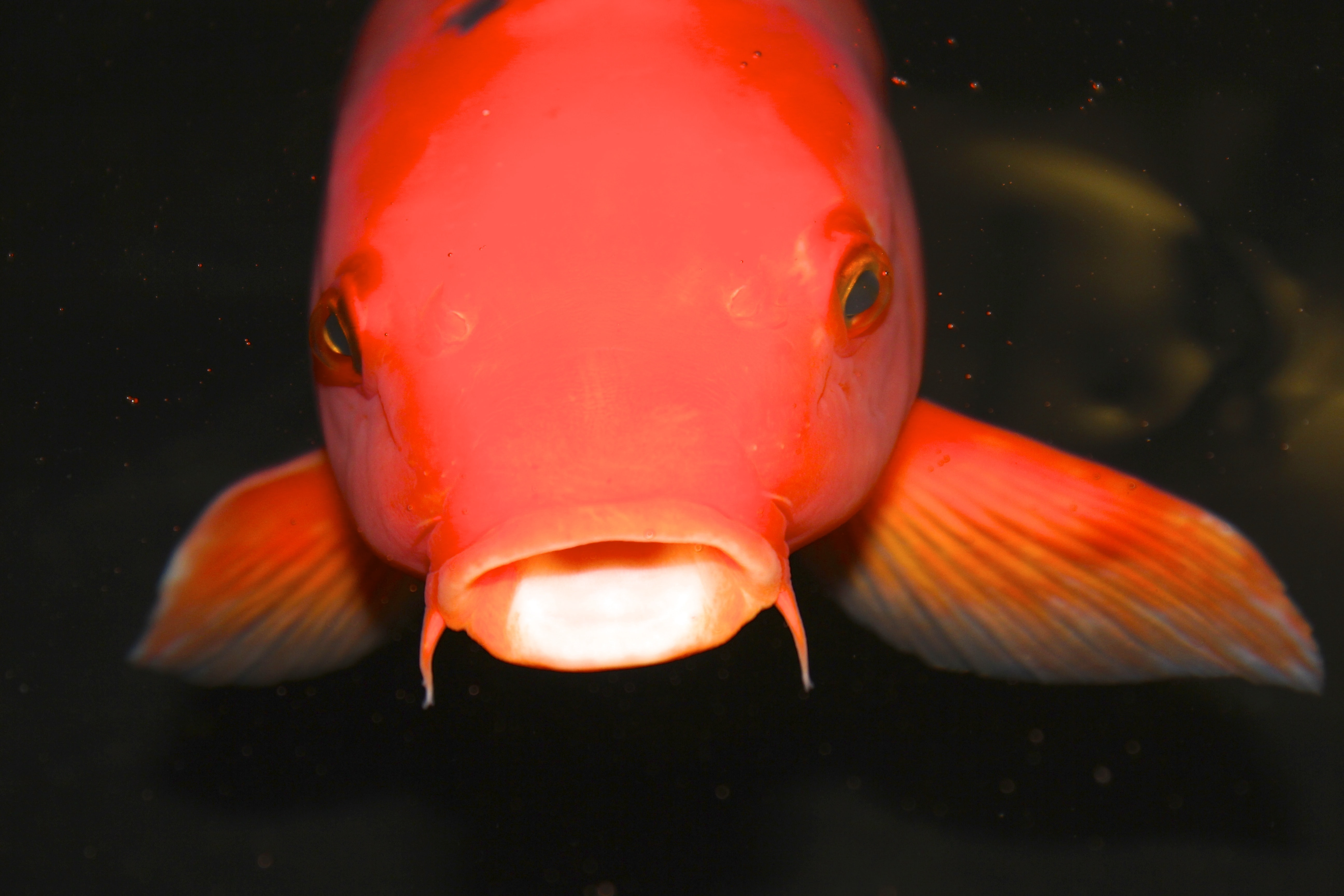 photo of red pet fish