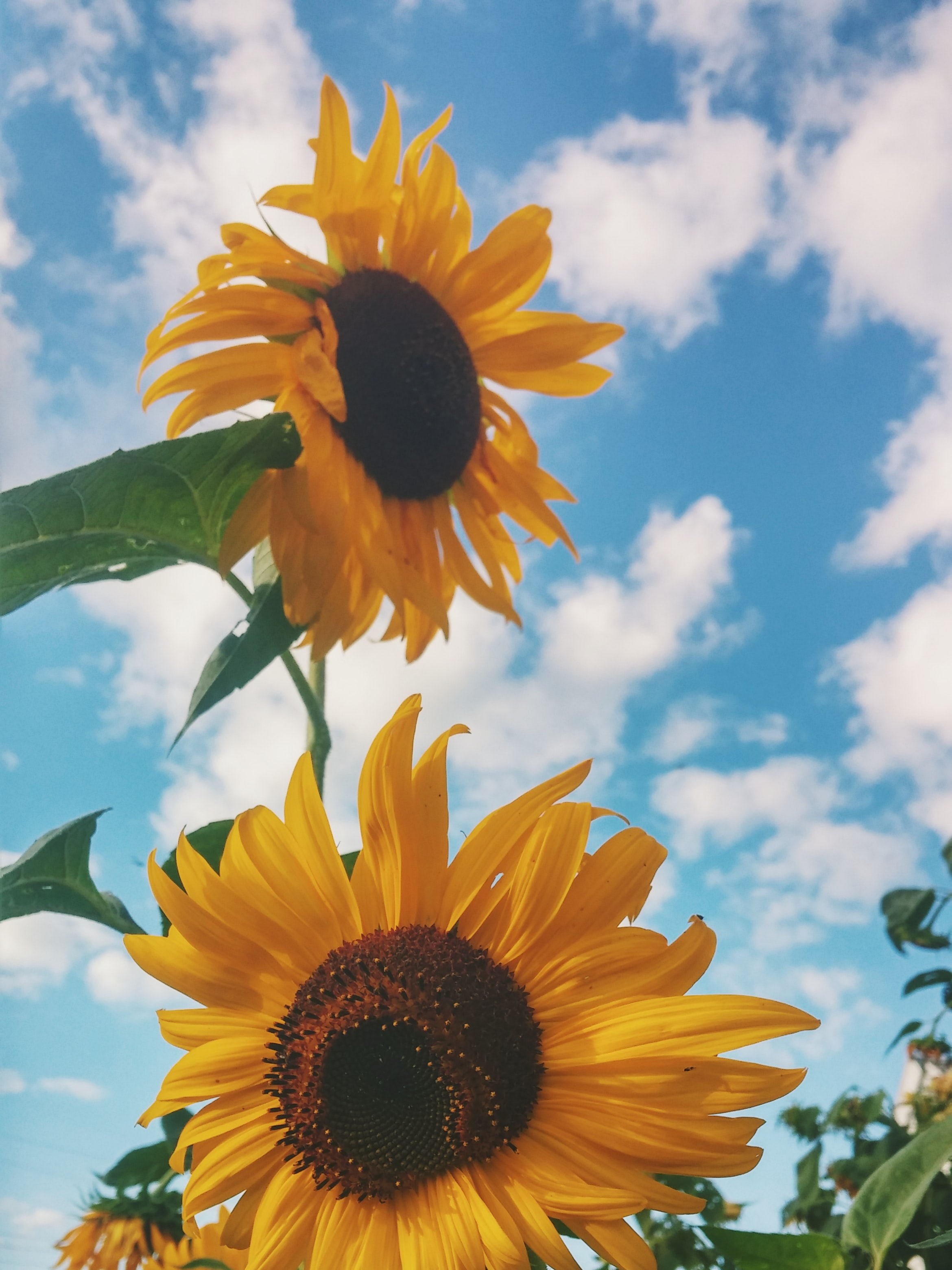 A low-angle shot of sunflowers in a field