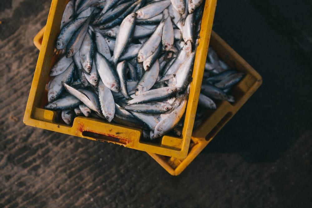 gray fish lot