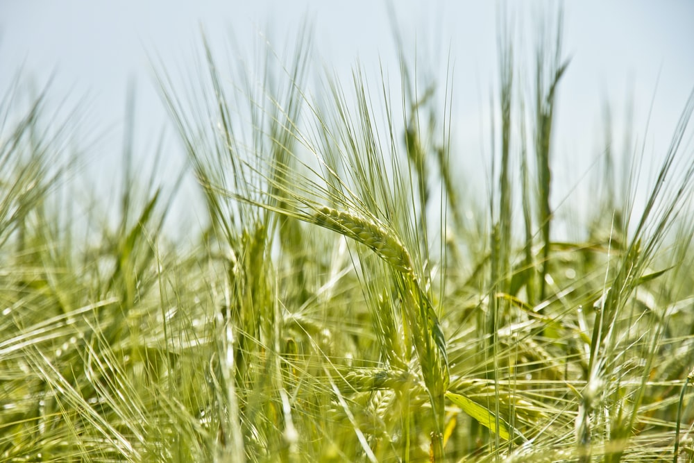 shallow focus photography of green crop field