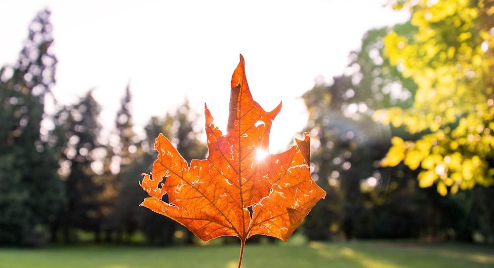 closeup photo of dried leaf