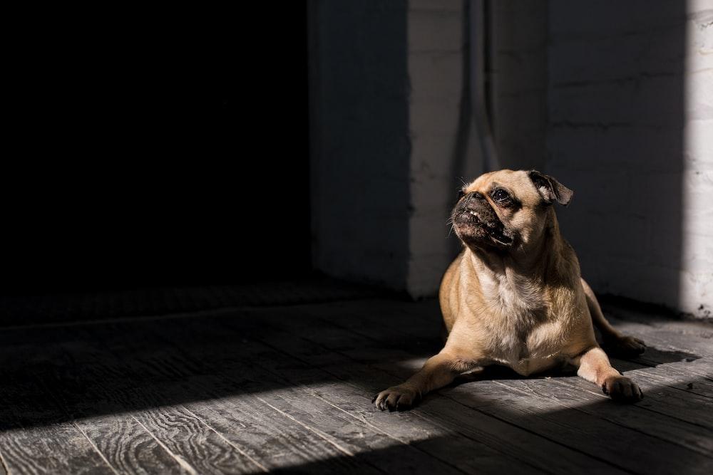 brown pug lying on floor