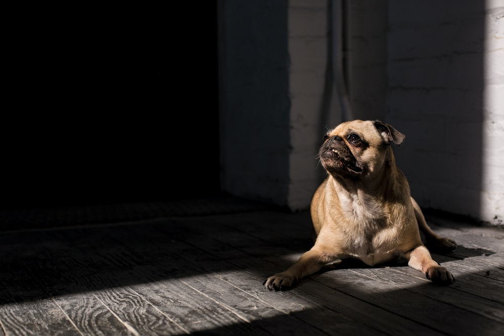 brown pug lying on floor