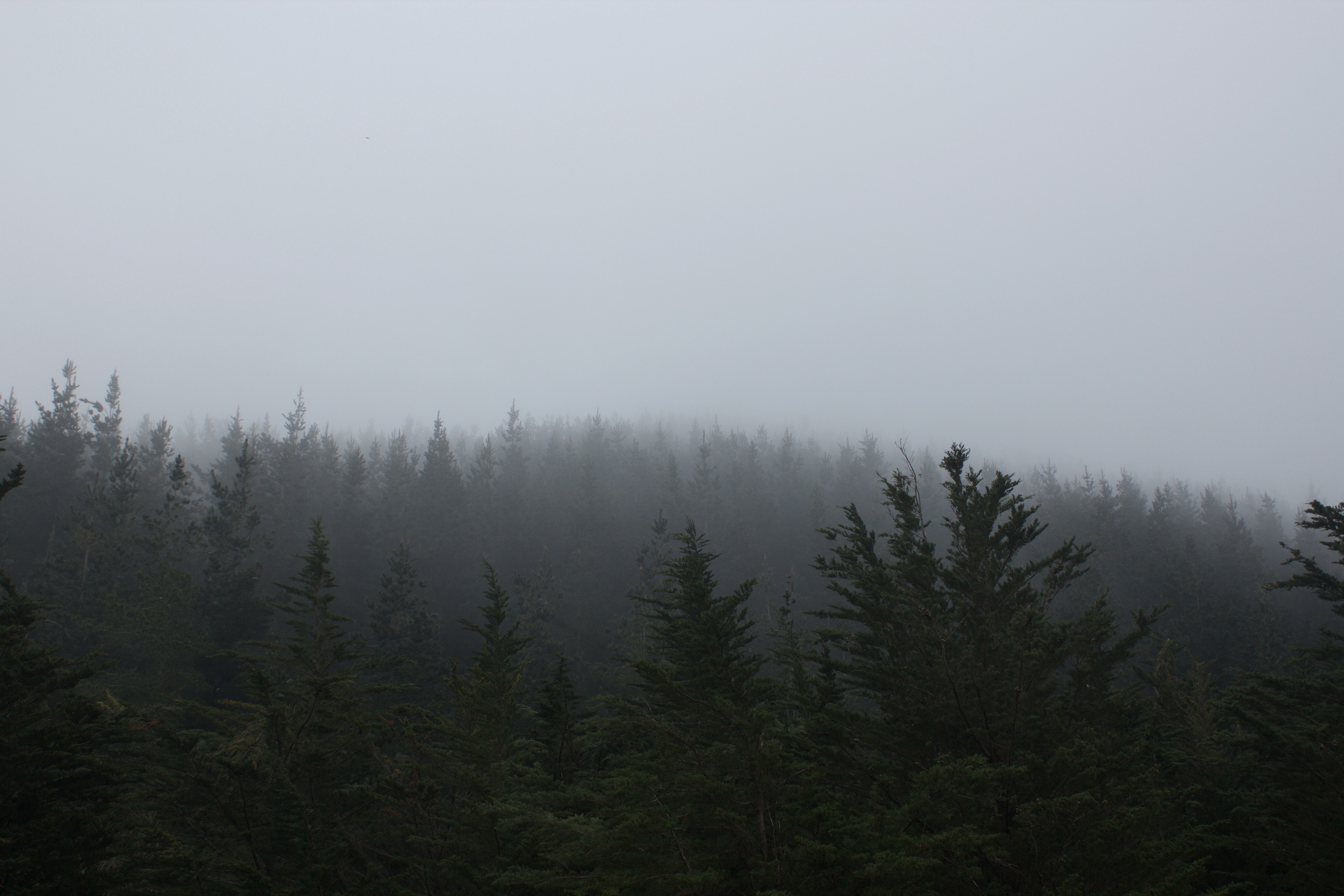 A coniferous forest shrouded in a thick gray mist