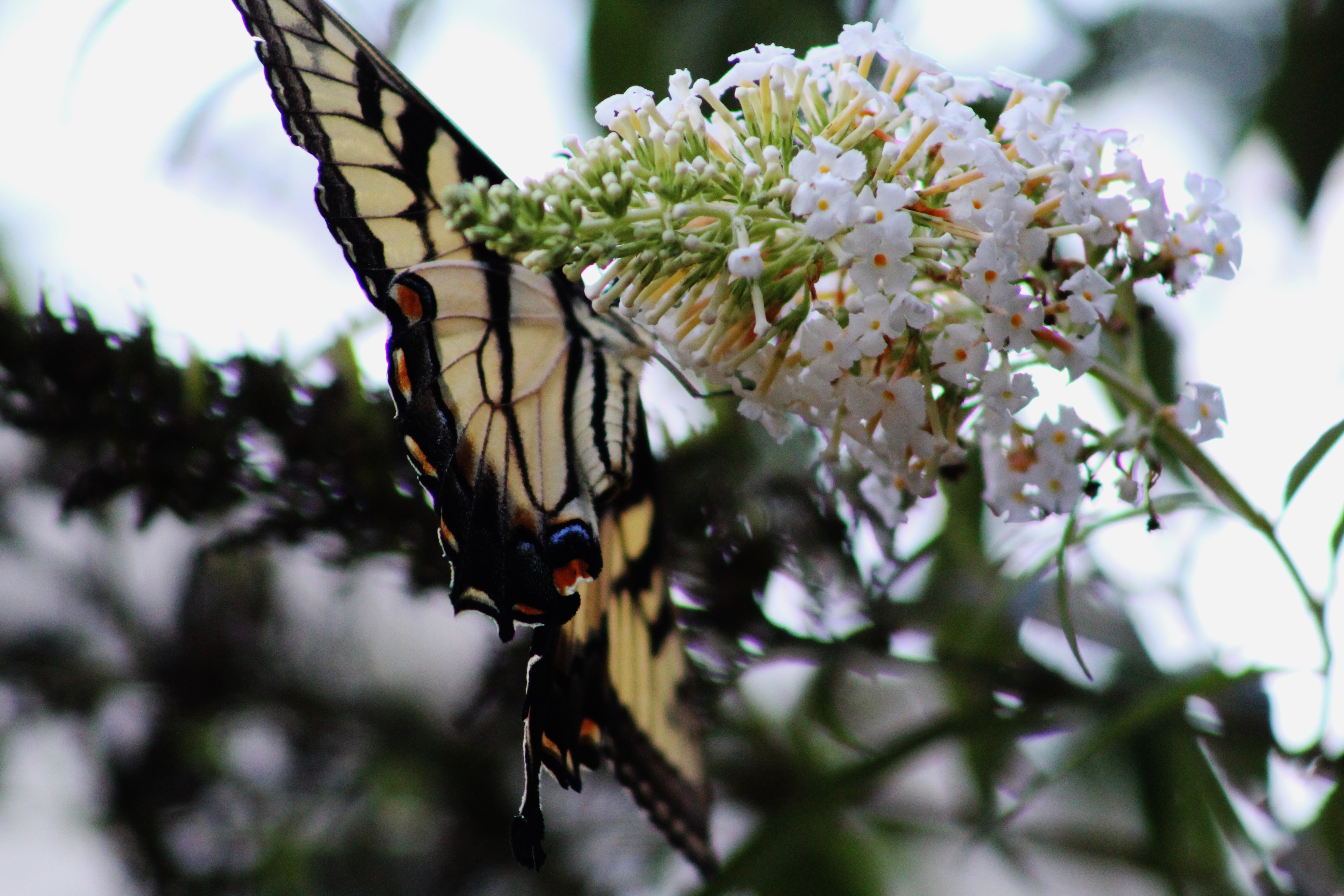 A large orangish white butterfly on white flowers.