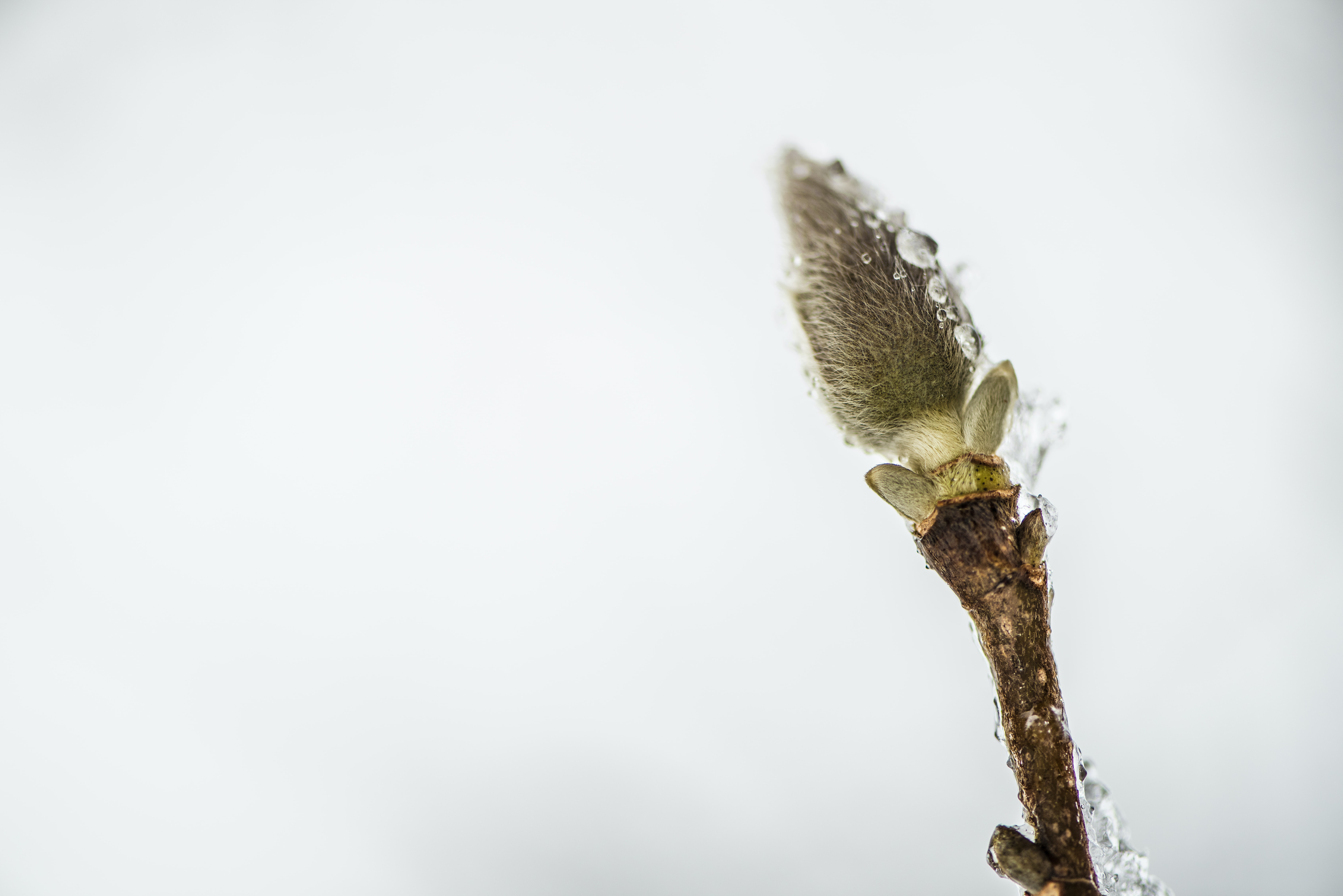 A close-up of a pussy willow catkin covered in ice crystals against a white background