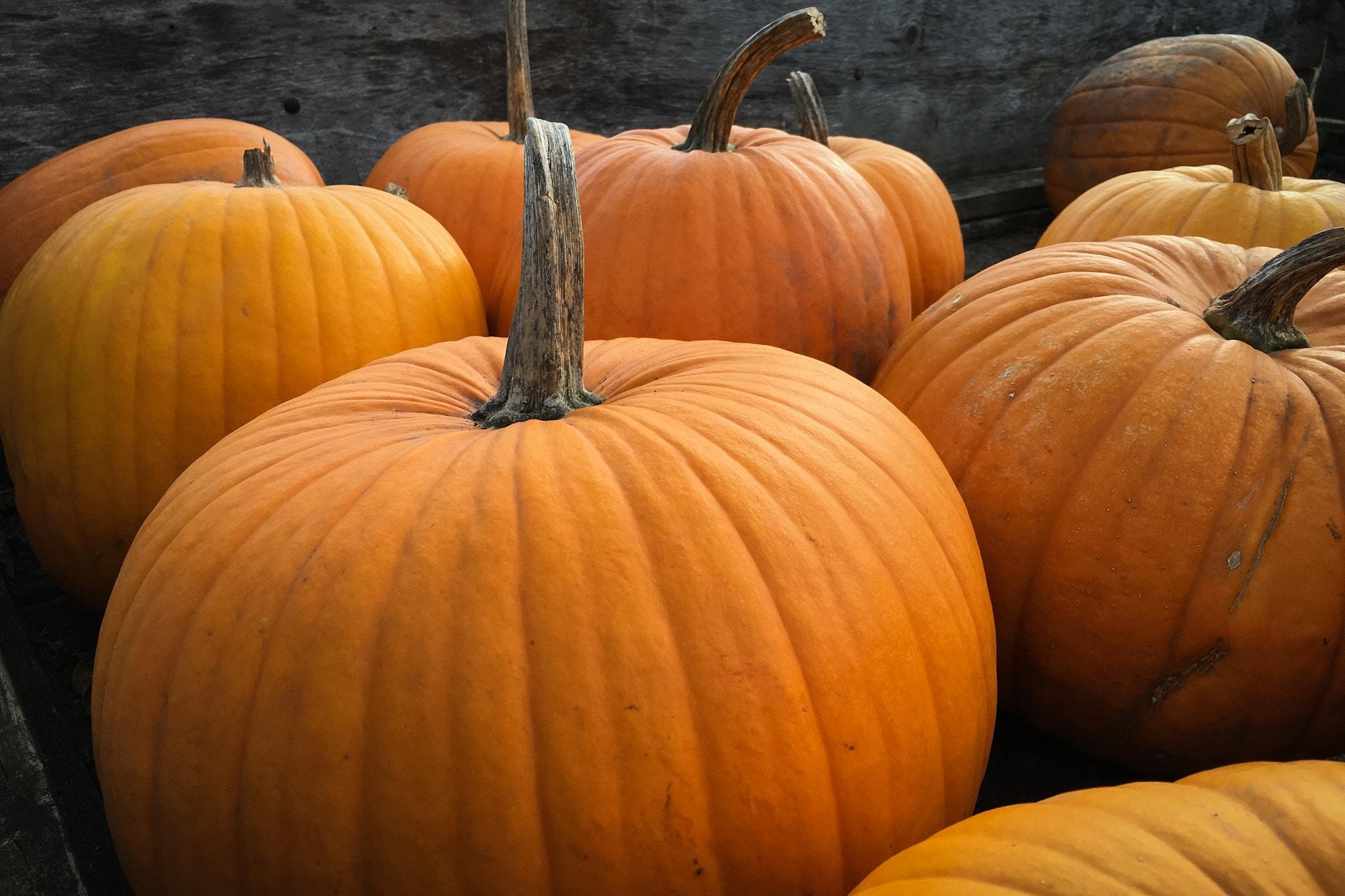 Large harvested pumpkins