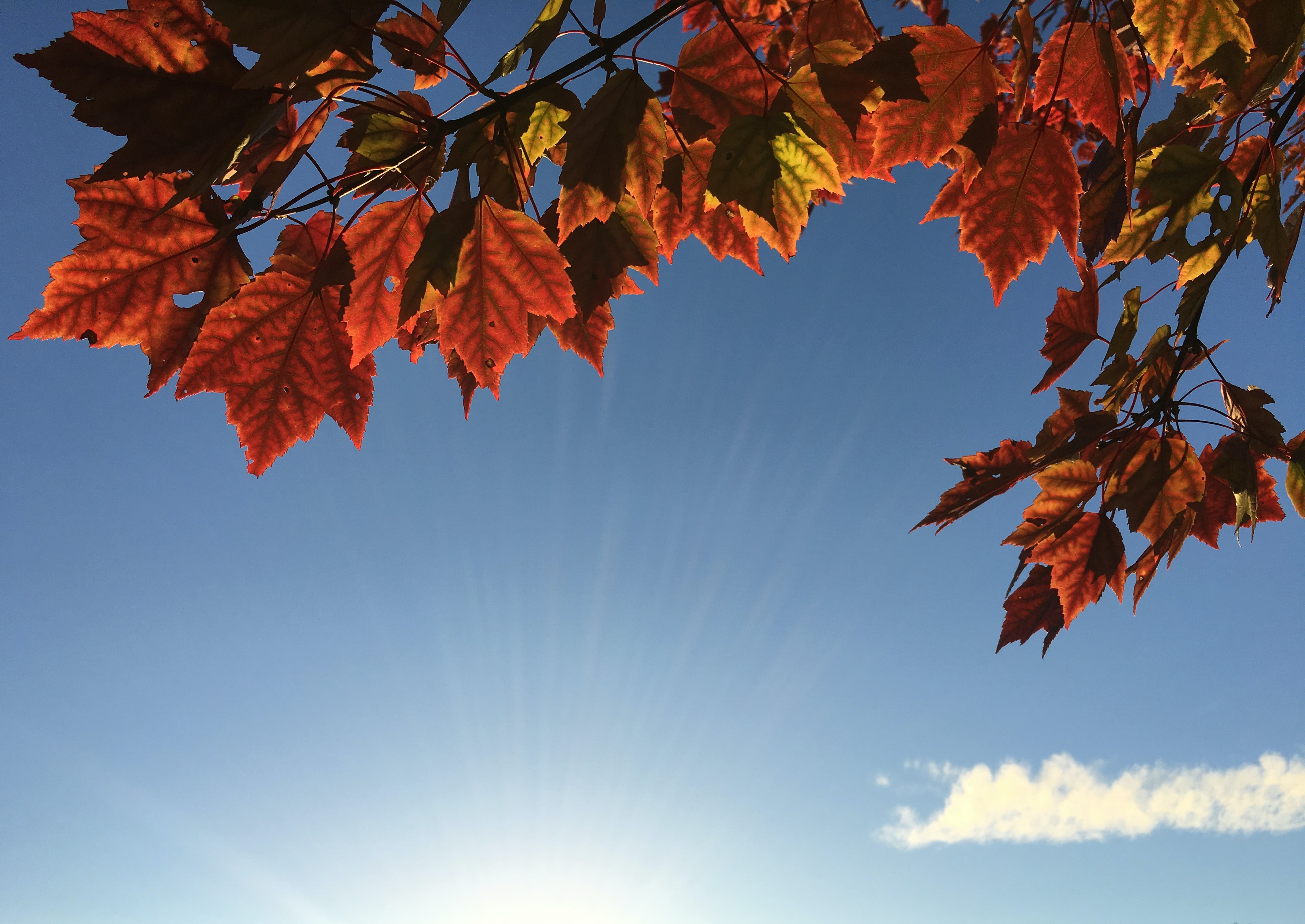 Bright red and orange maple leaves against the bright blue sunny sky