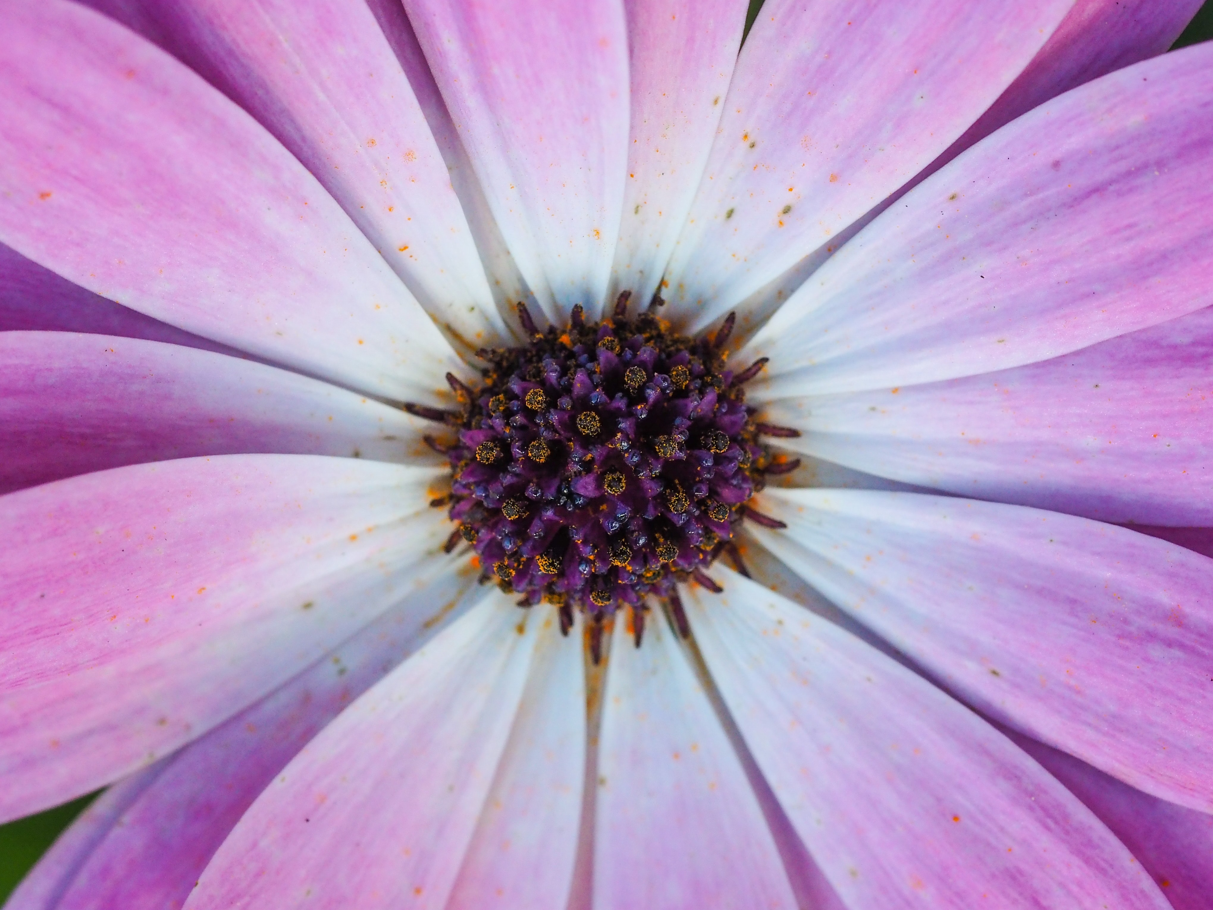 Close-up of the inside of a violet daisy flower