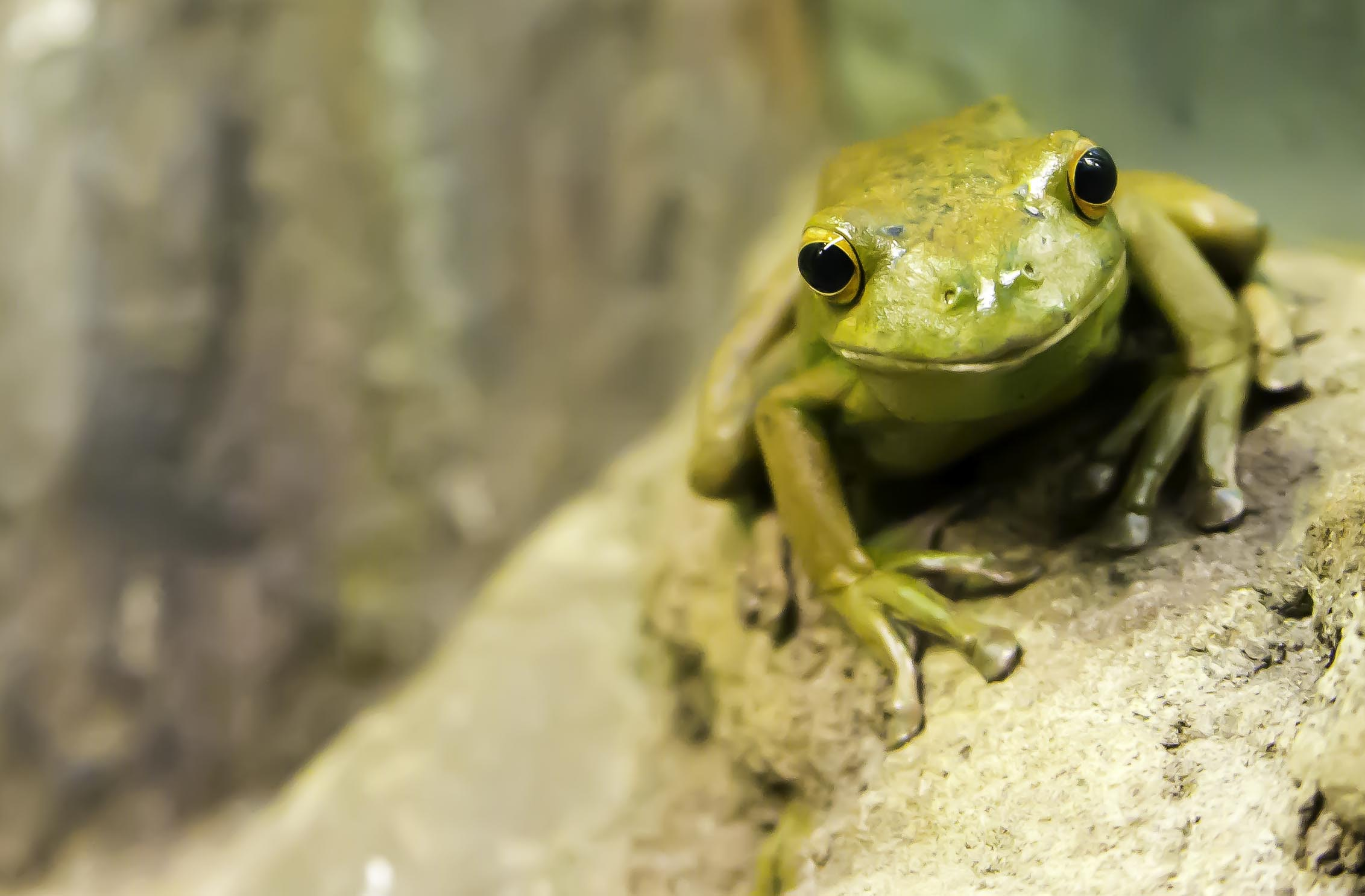 A light green frog sitting on a mossy rock and calmly looking at the camera