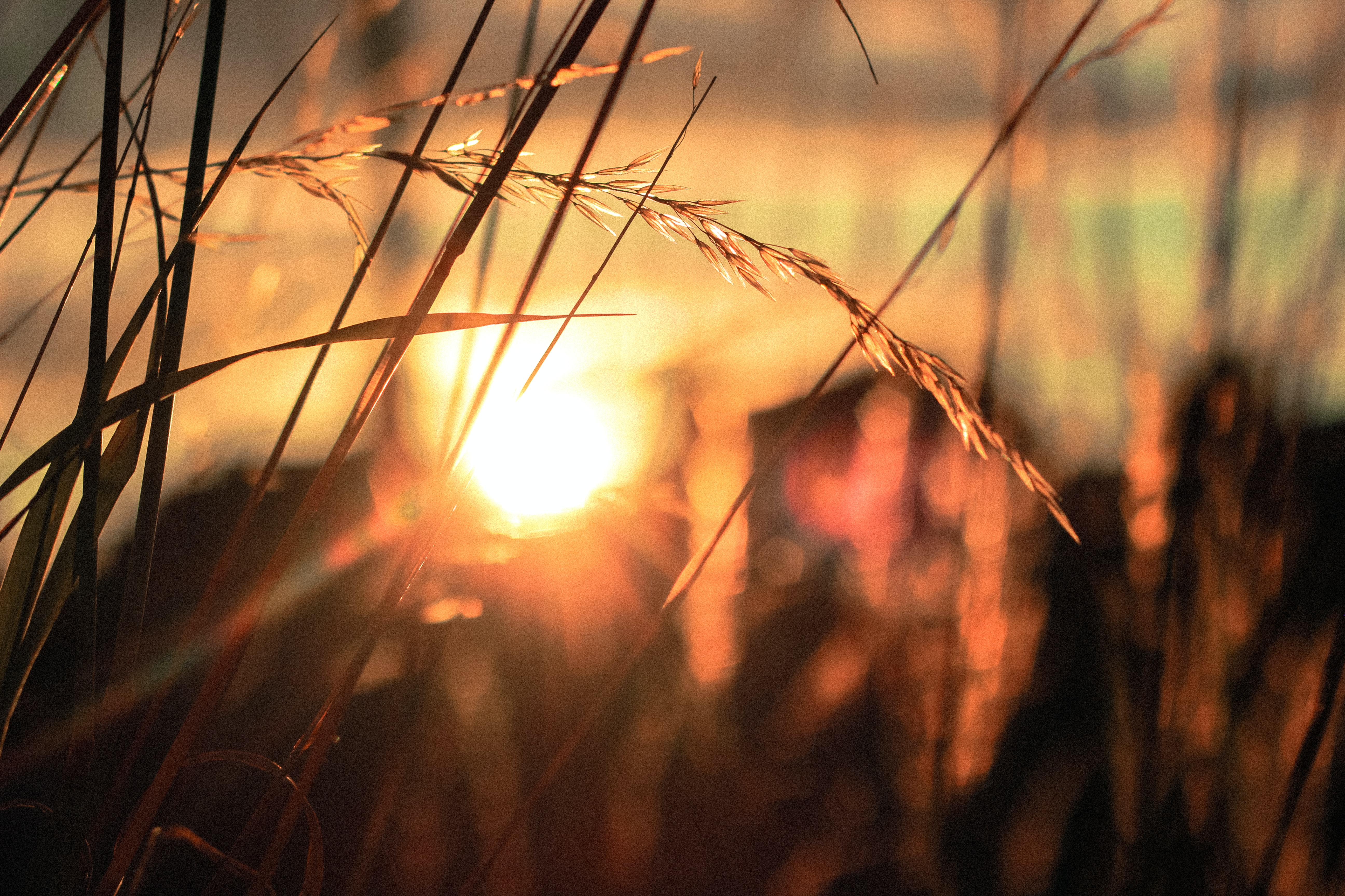 A bright sunset behind flowering blades of grass