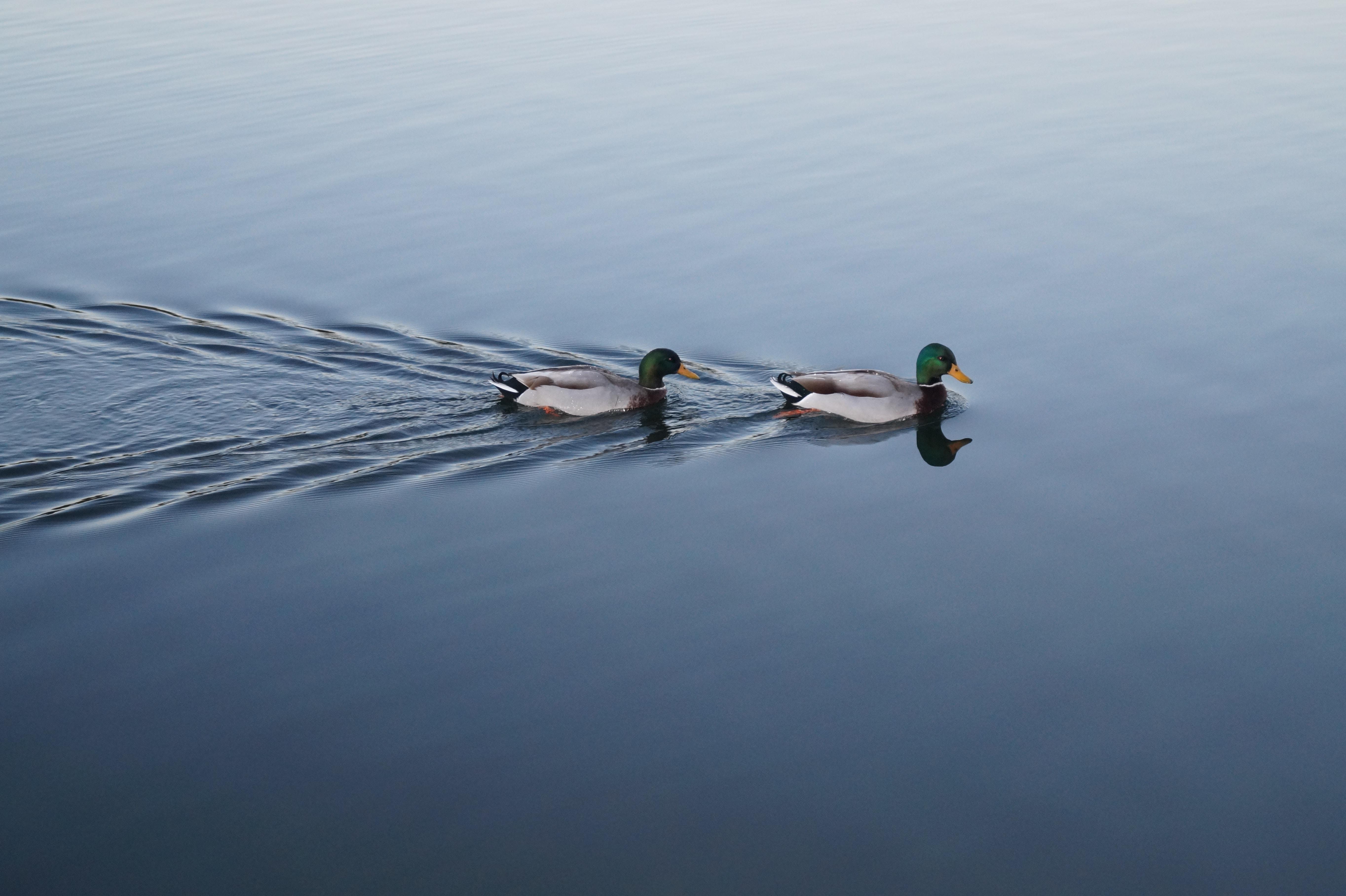 two swimming mallard ducks on still body of water