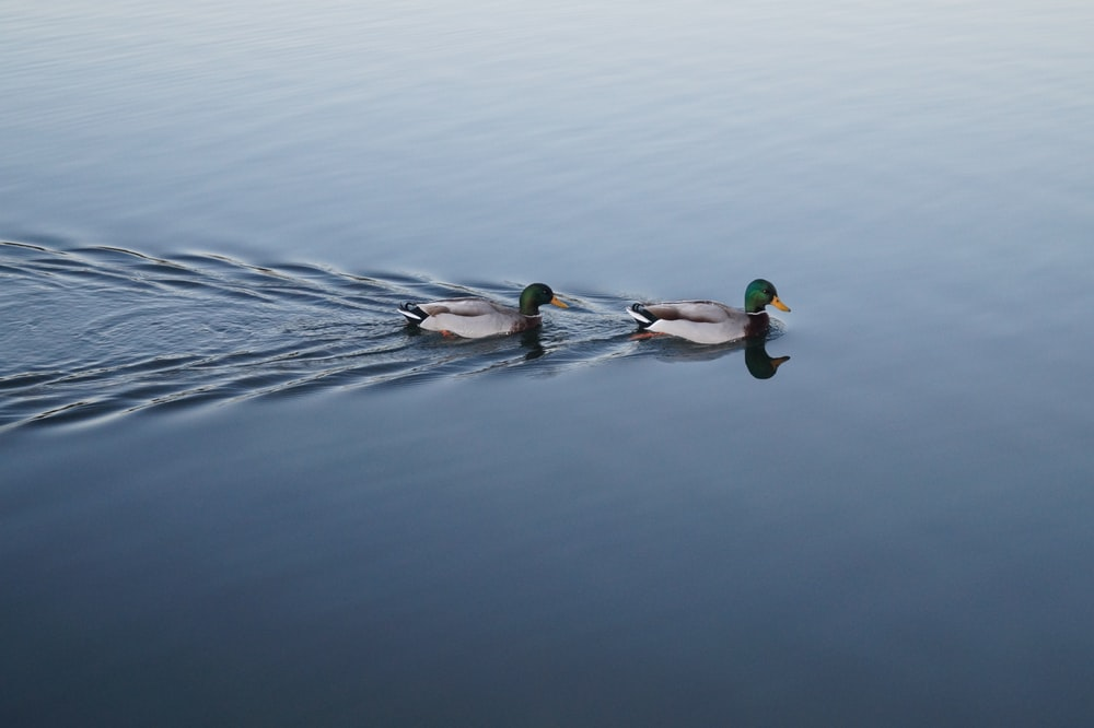 two swimming mallard ducks on still body of water
