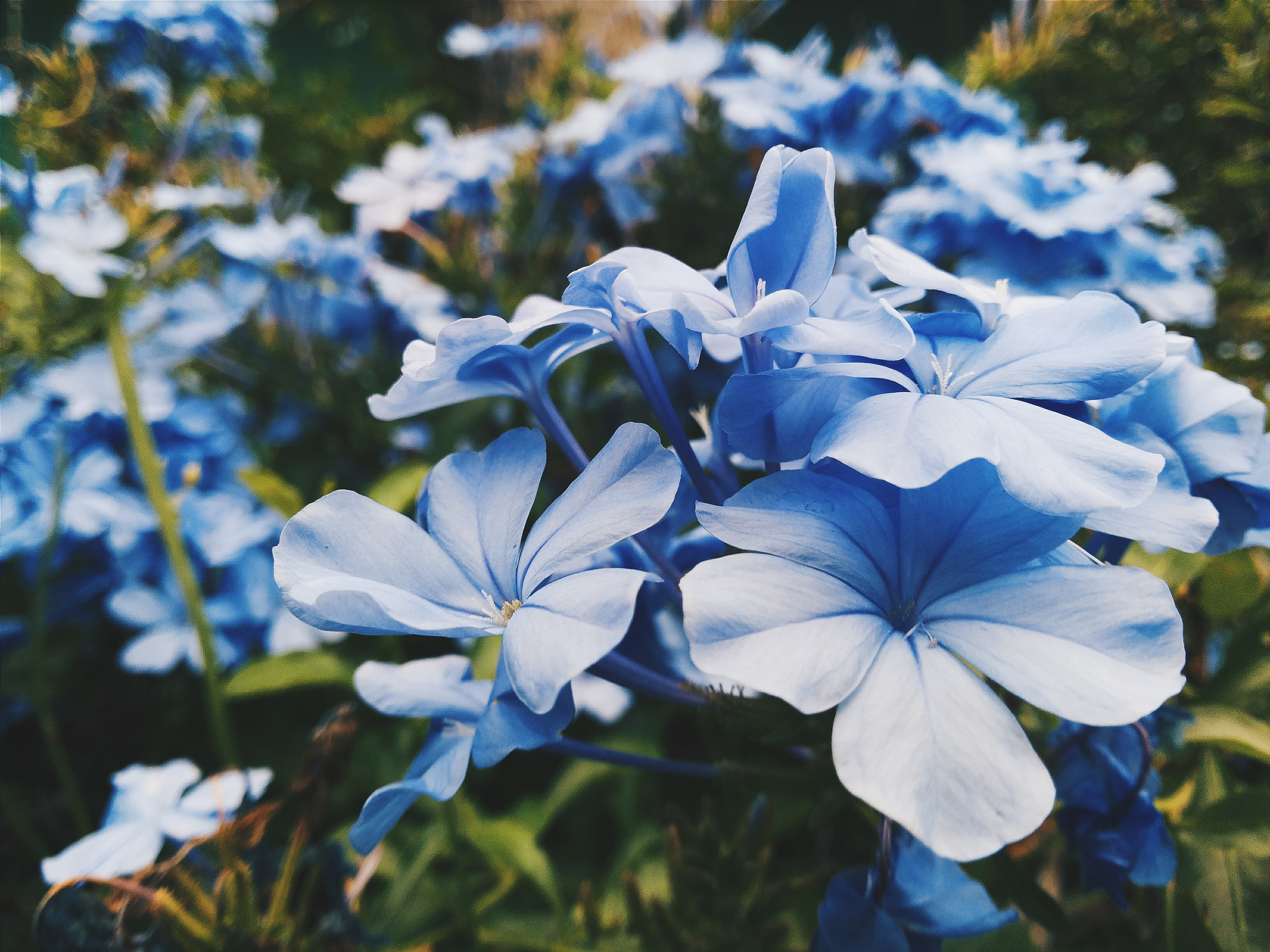 Close-up of light blue flowers with large petals in a garden