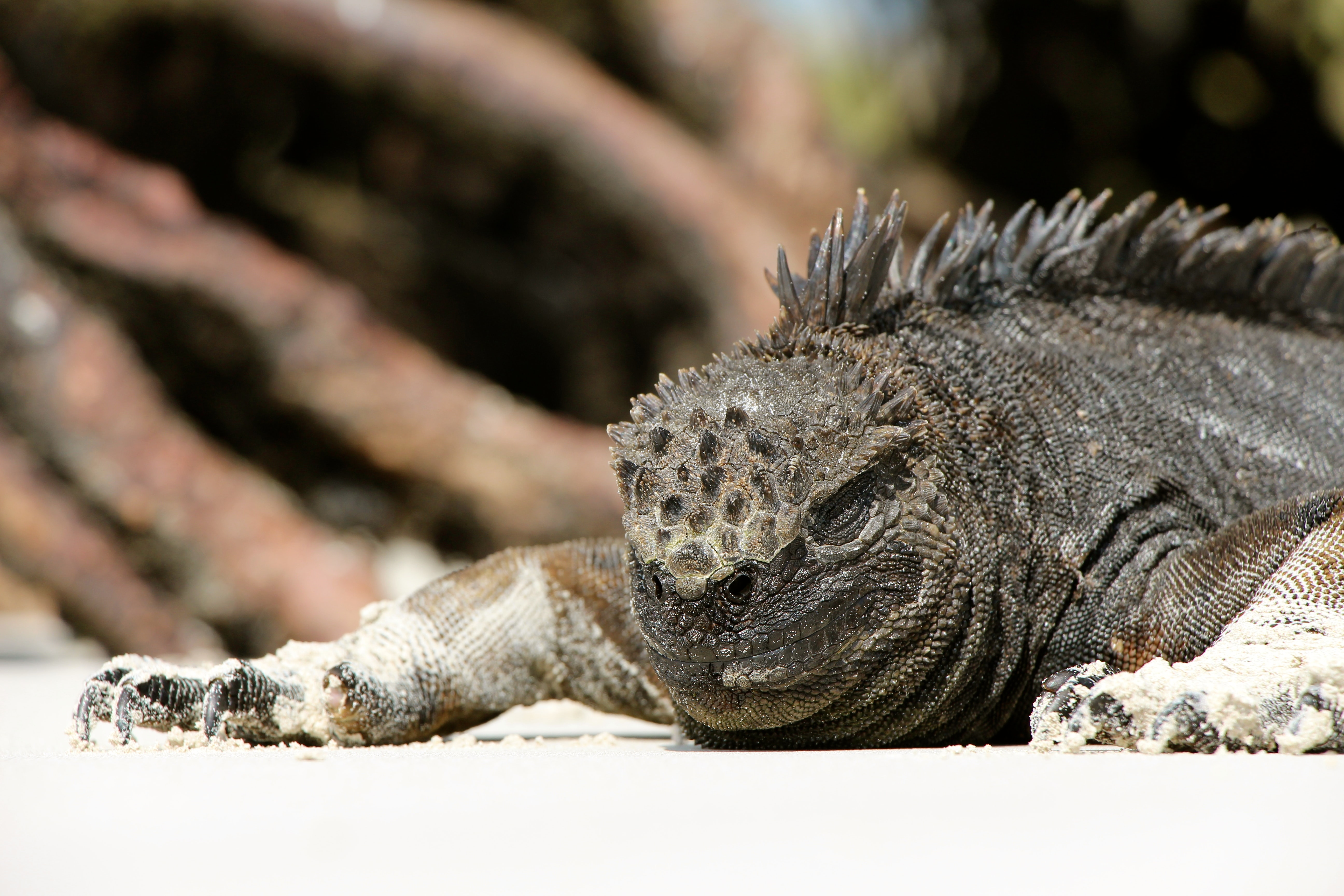 closeup photo of gray iguana