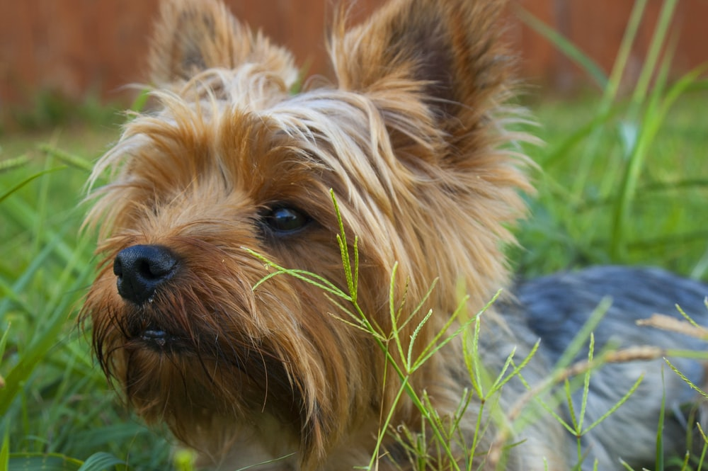 Yorkshire Terrier lying on grass covered ground