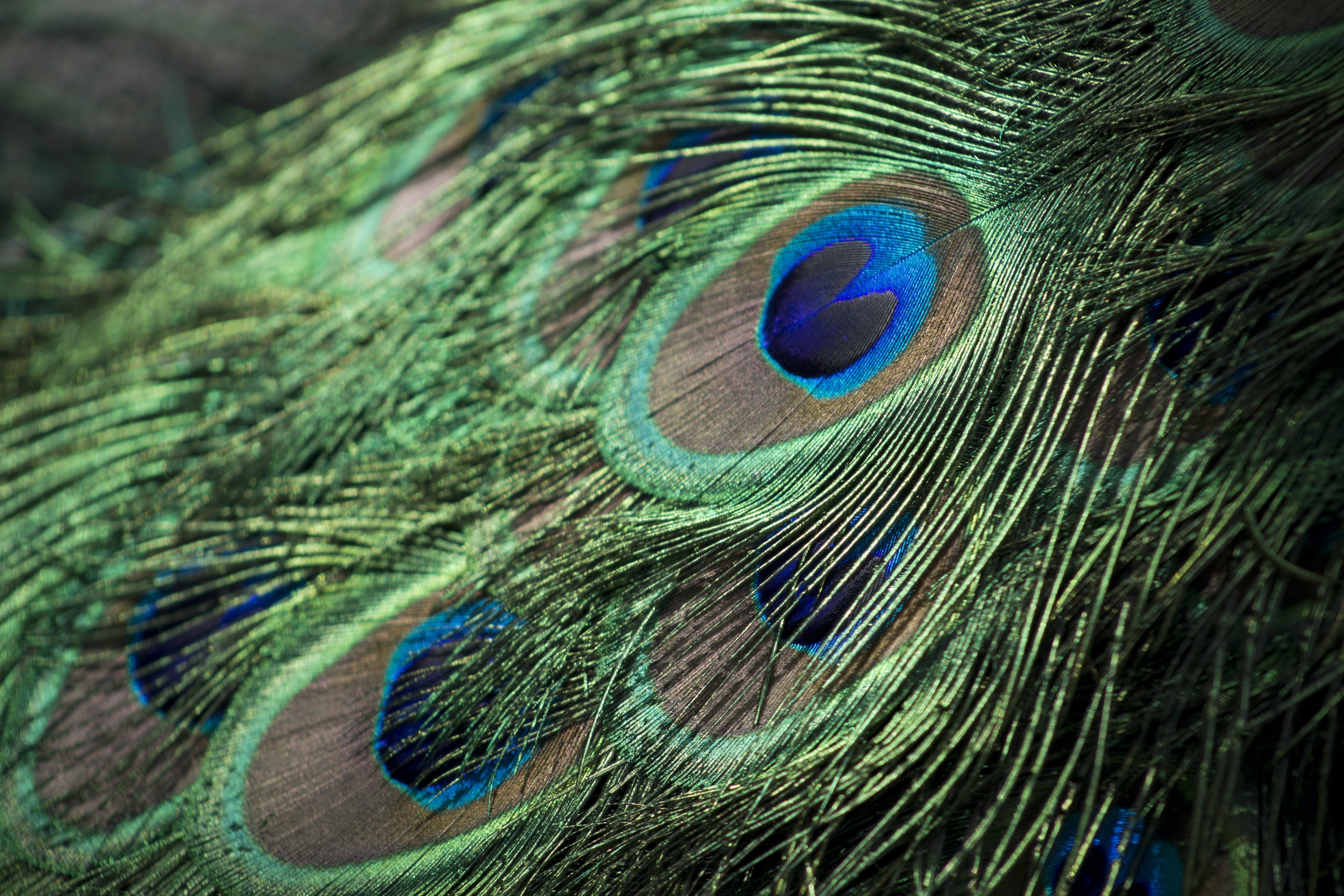 closeup photography of green, gray, and blue Peacock feathers