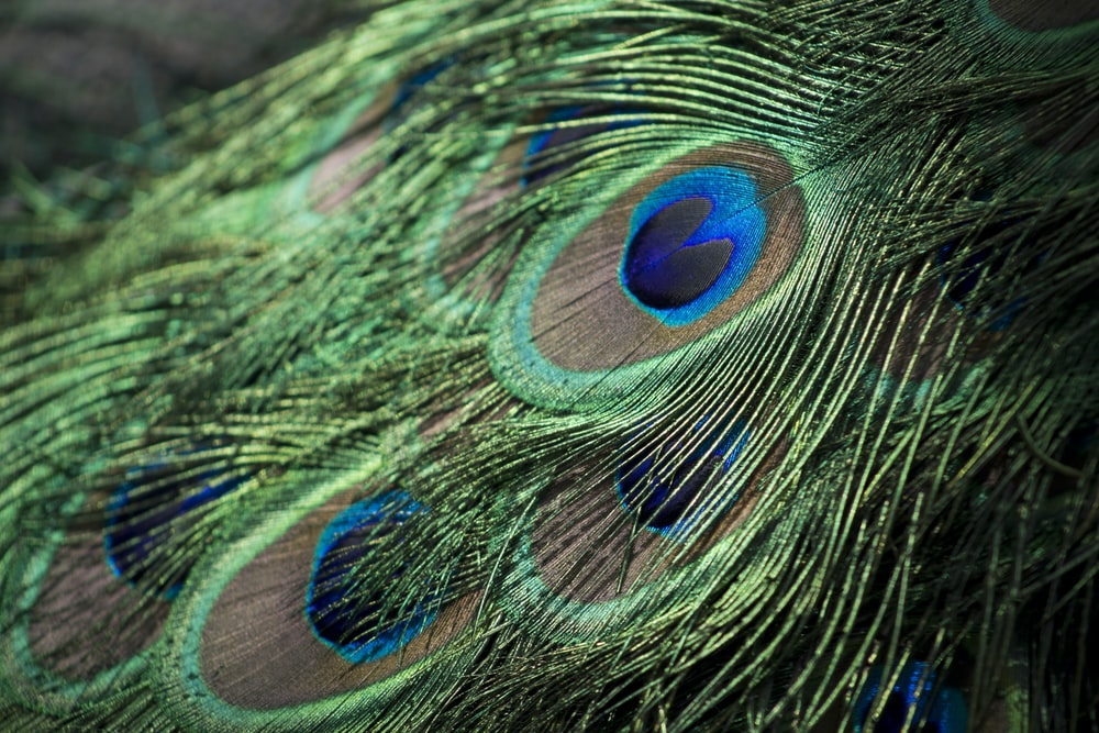 Closeup Photography Of Green Gray And Blue Pea Feathers