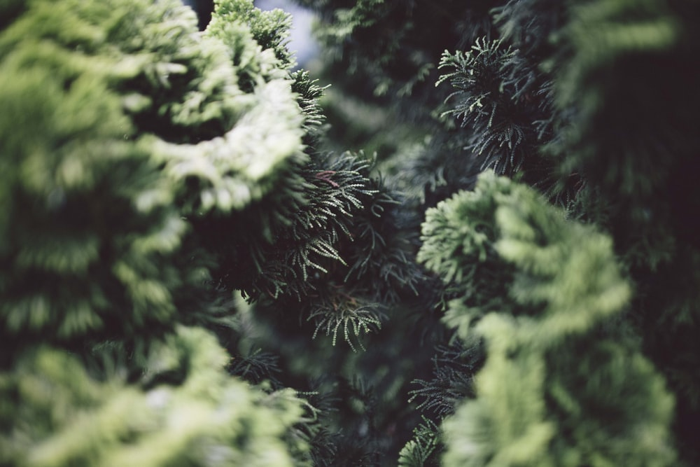 Close-up of the branches of coniferous trees