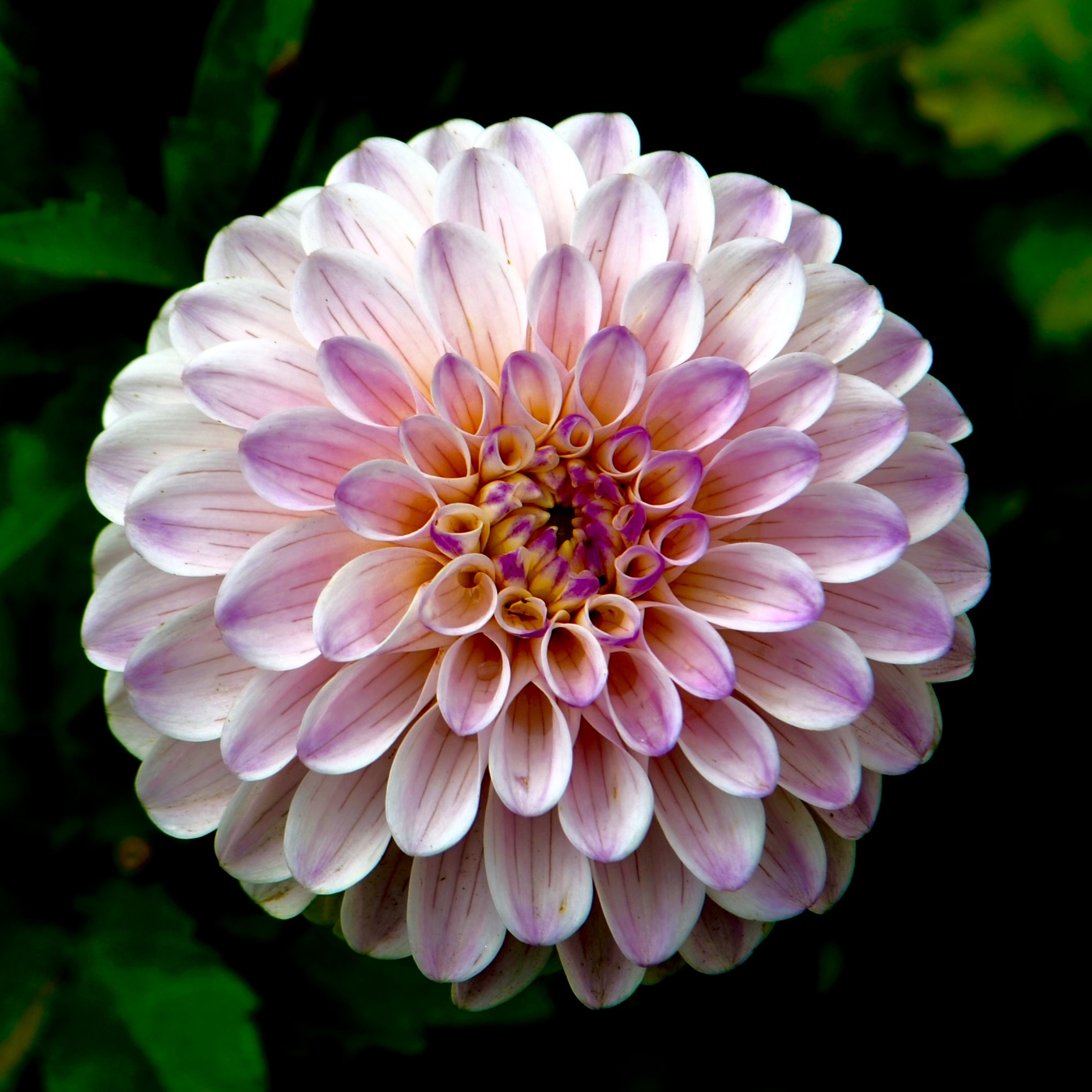 An overhead shot of a pink dahlia