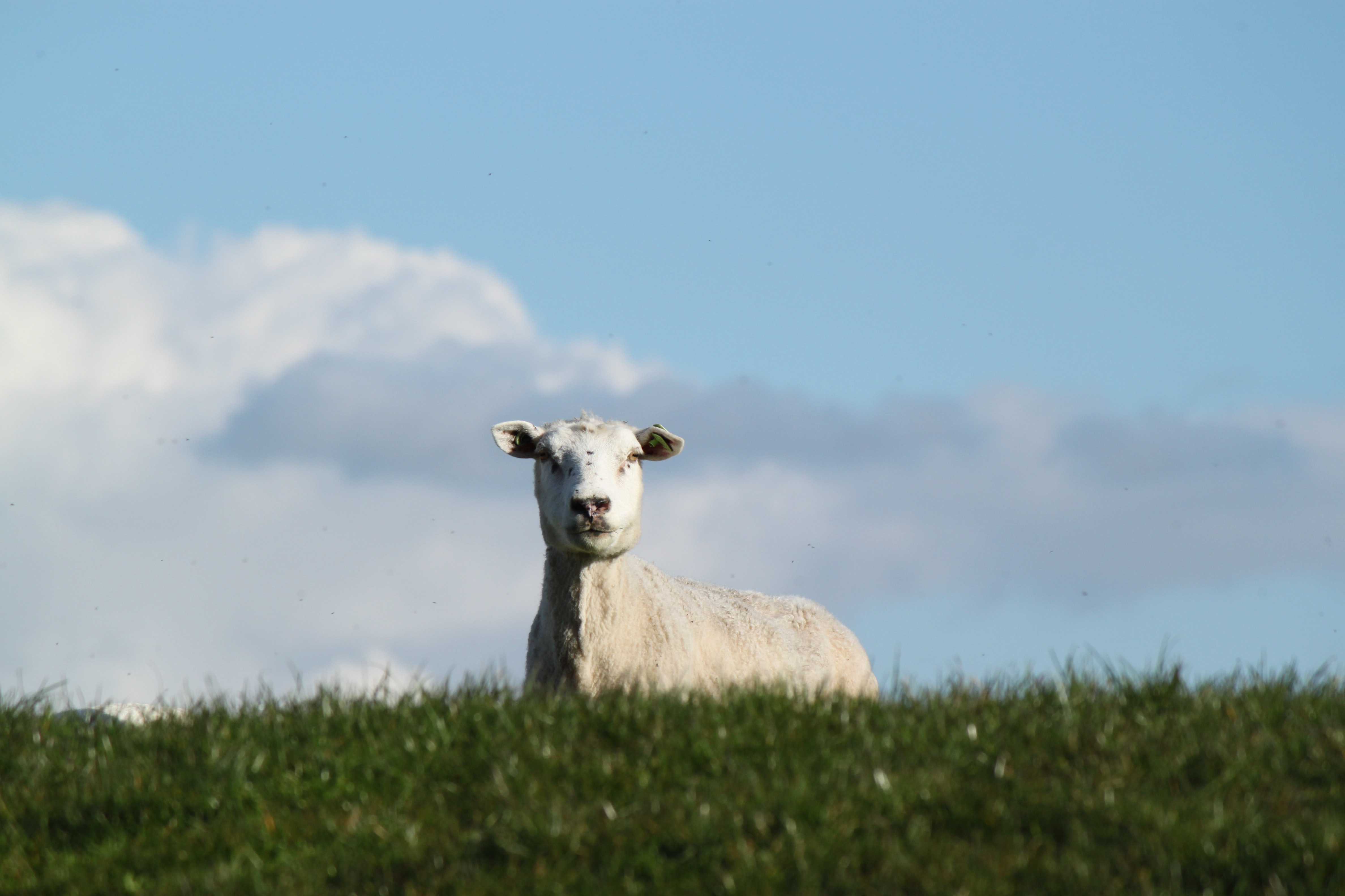 Lone sheep stares over the top of a grassy hill