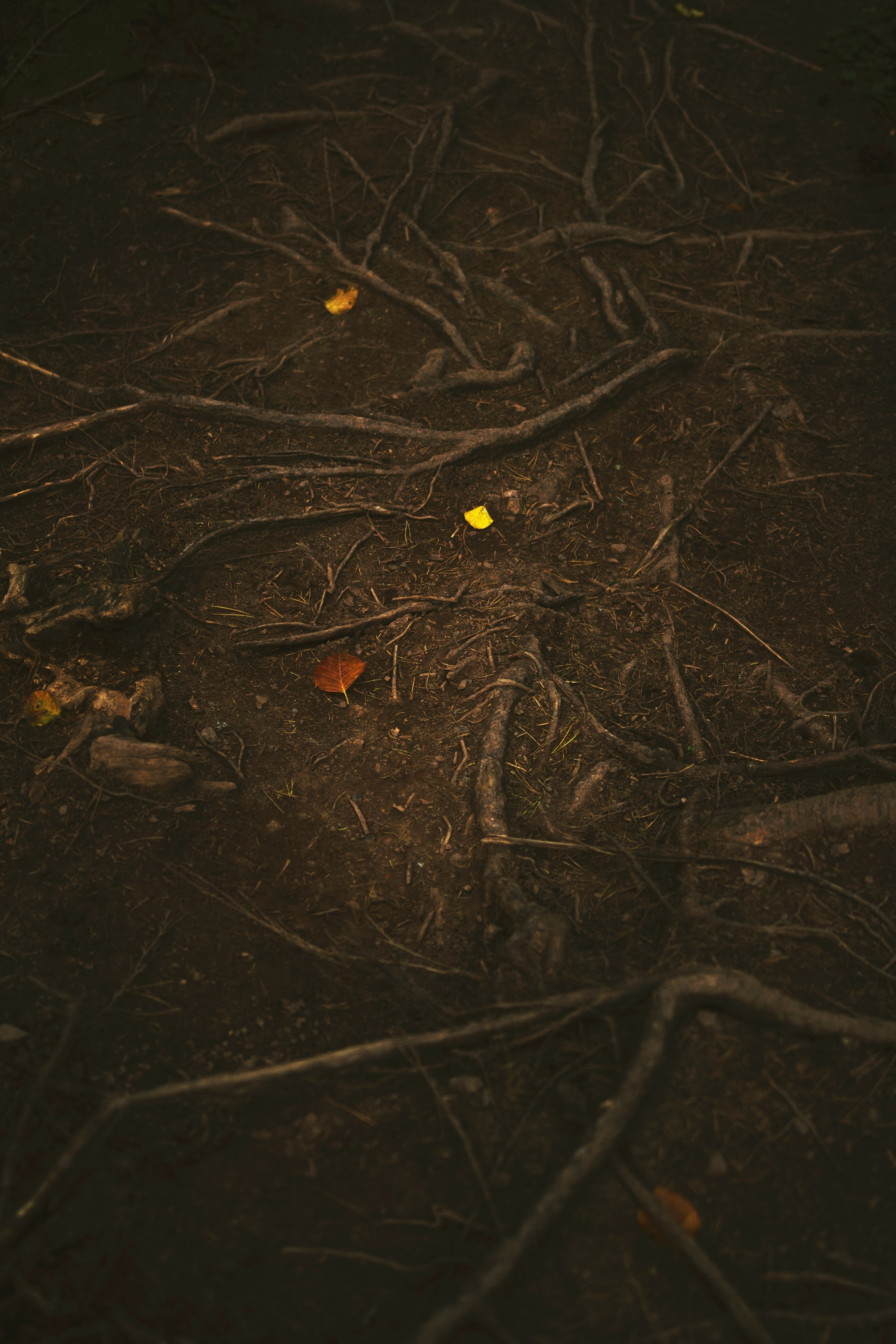 Bright autumn leaves on contrasting brown ground with tangled tree roots