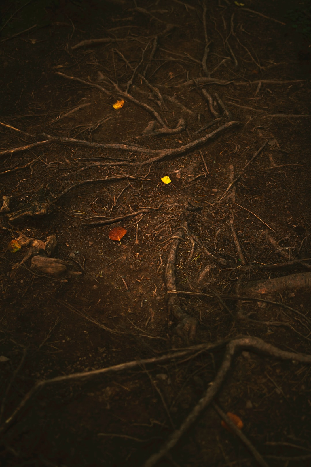 Autumn leaves among roots