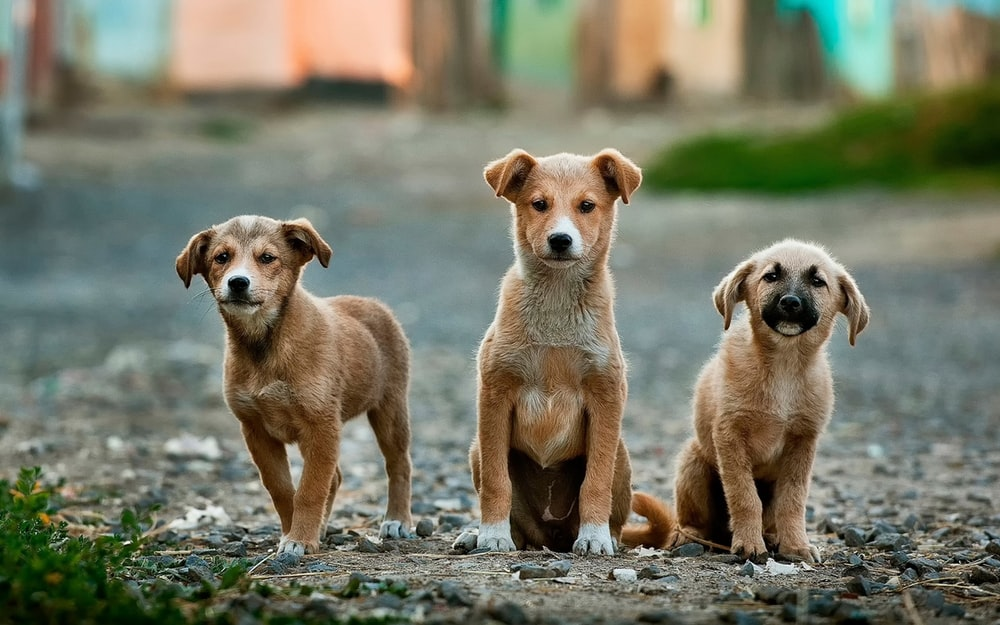 selective focus photography of three brown puppies