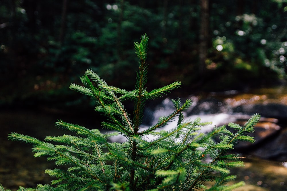focus photography of green pine tree