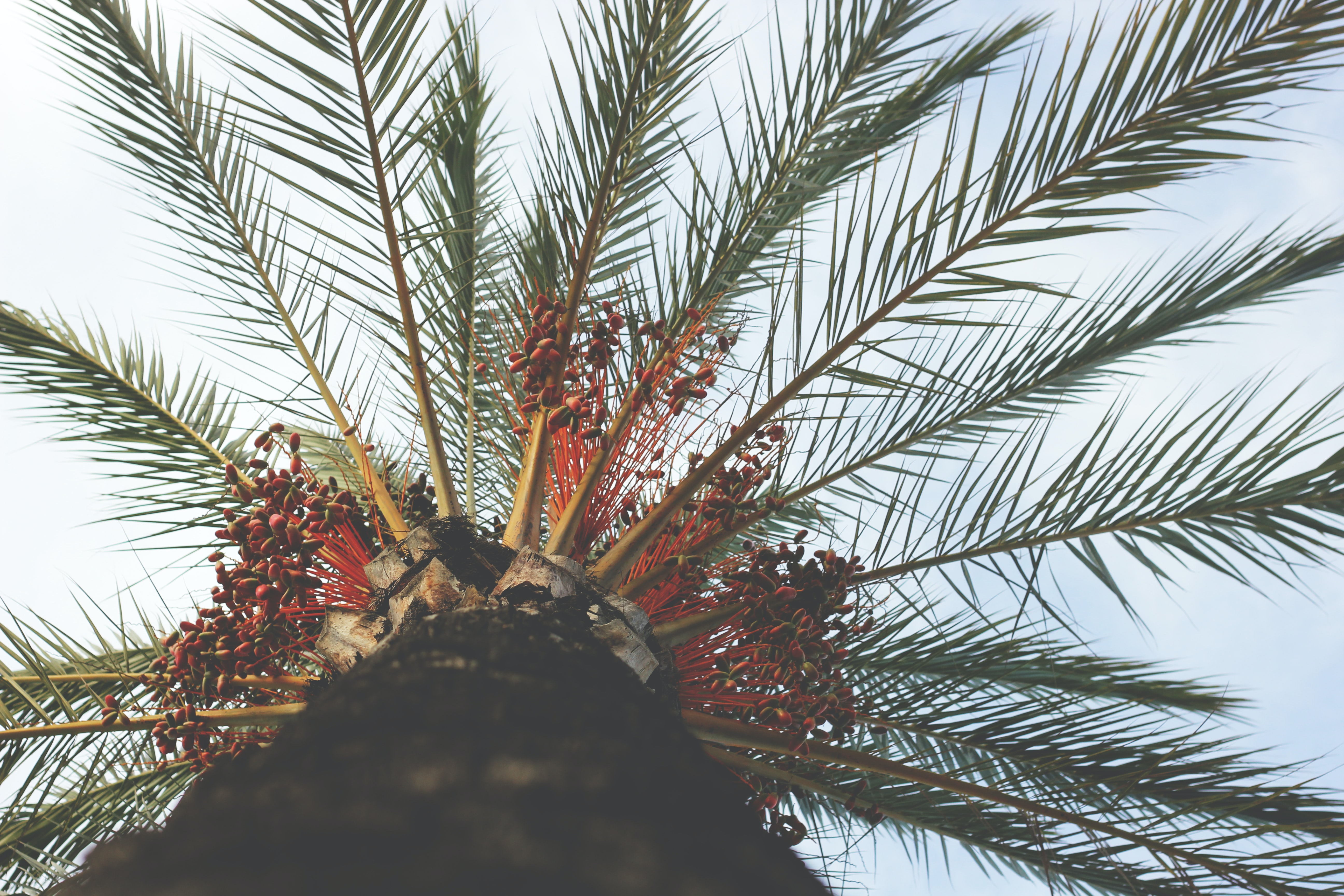 A low-angle shot of the top of a coconut tree in Barcelona