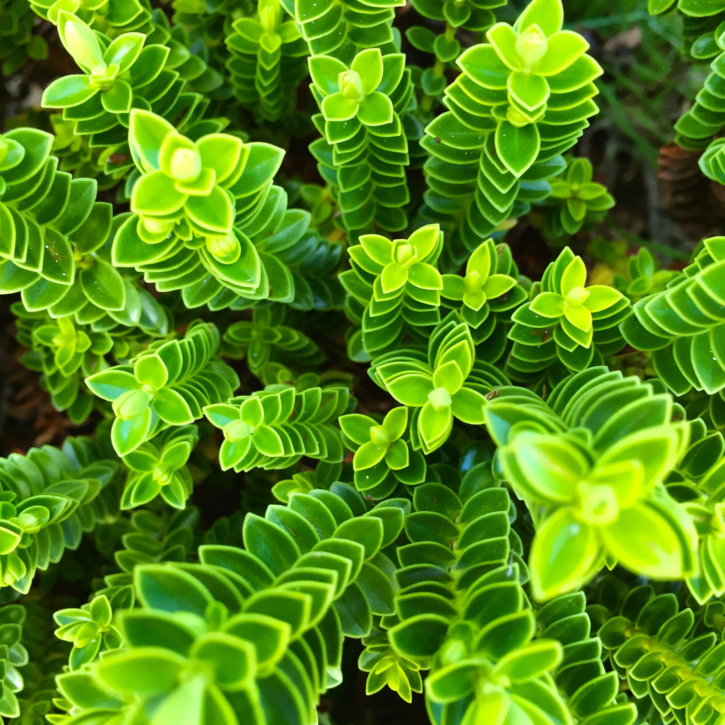 An overhead shot of tall green plants with regular leaves