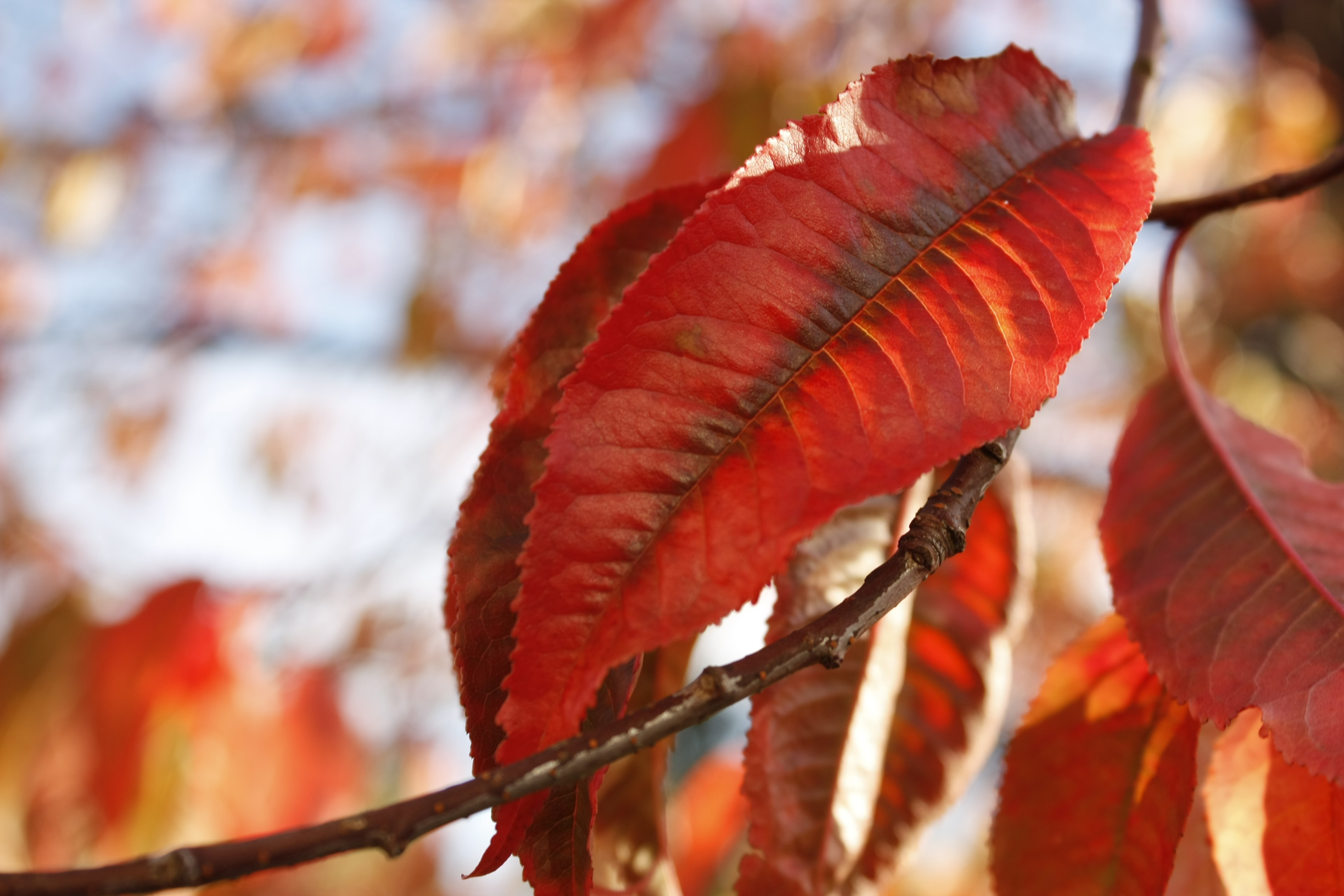 red withering leaves macro photography