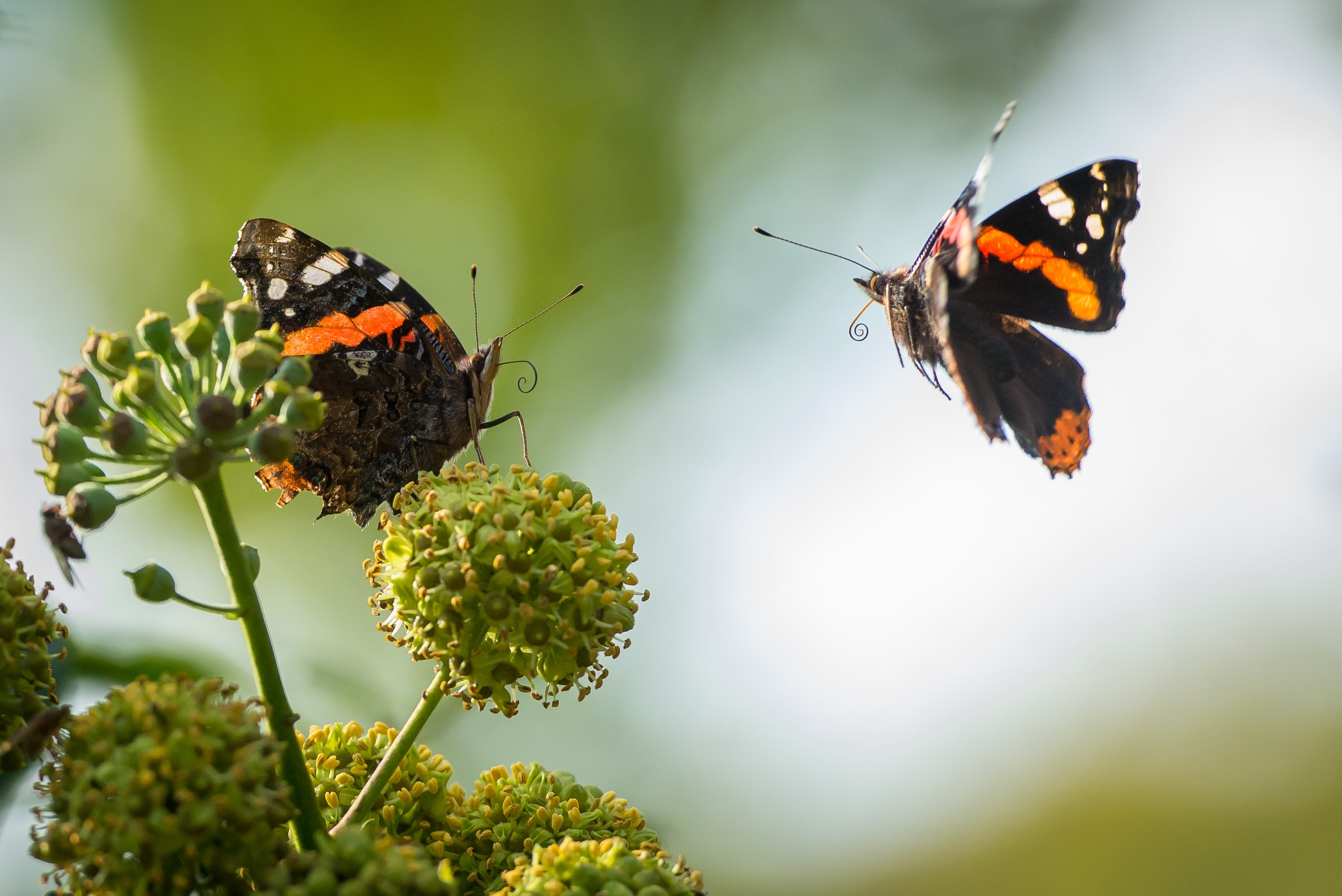 Two orange and black butterflies on a flower.