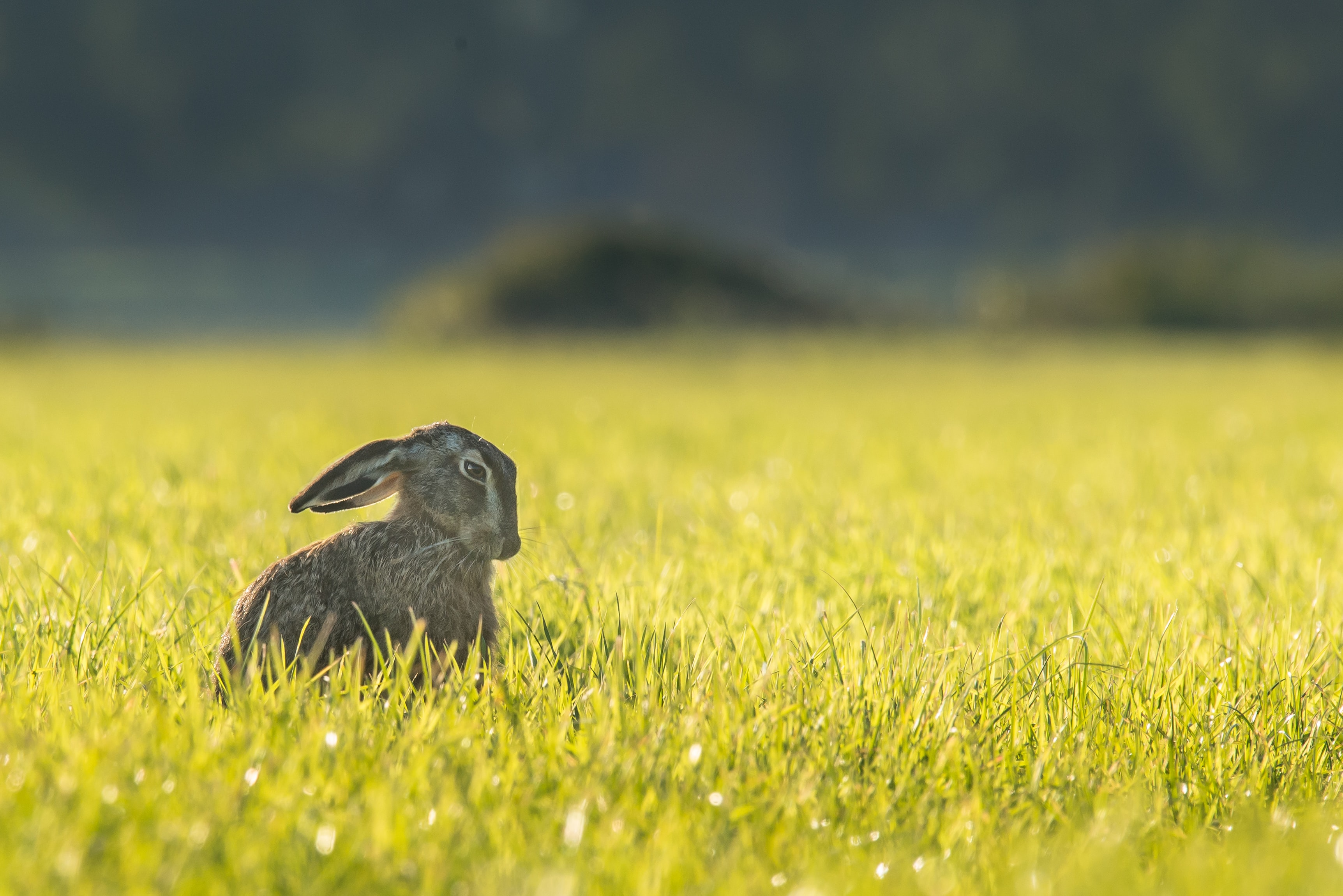 Rabbit in focus sitting in a field of grass
