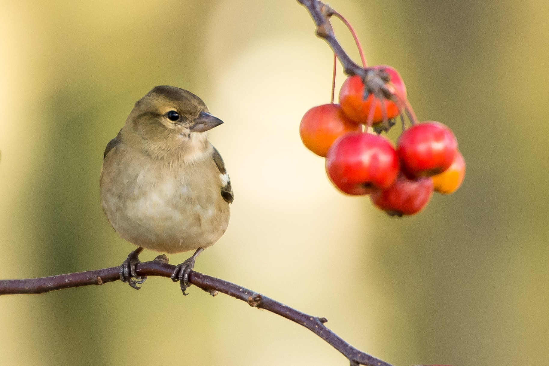 A small bird perched on a tree branch and looking at a bunch of red berries