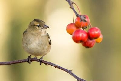Bird looking at tasty berries