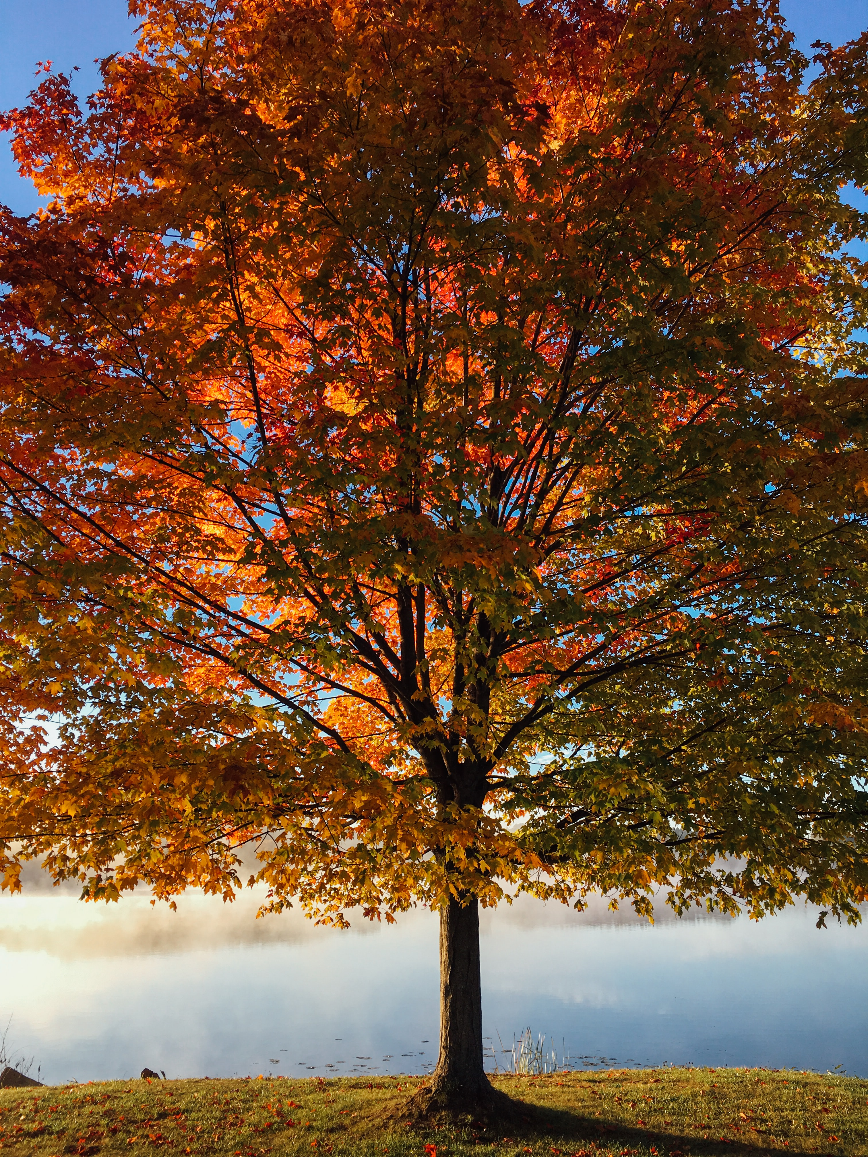 A huge maple tree with orange, red, and green leaves