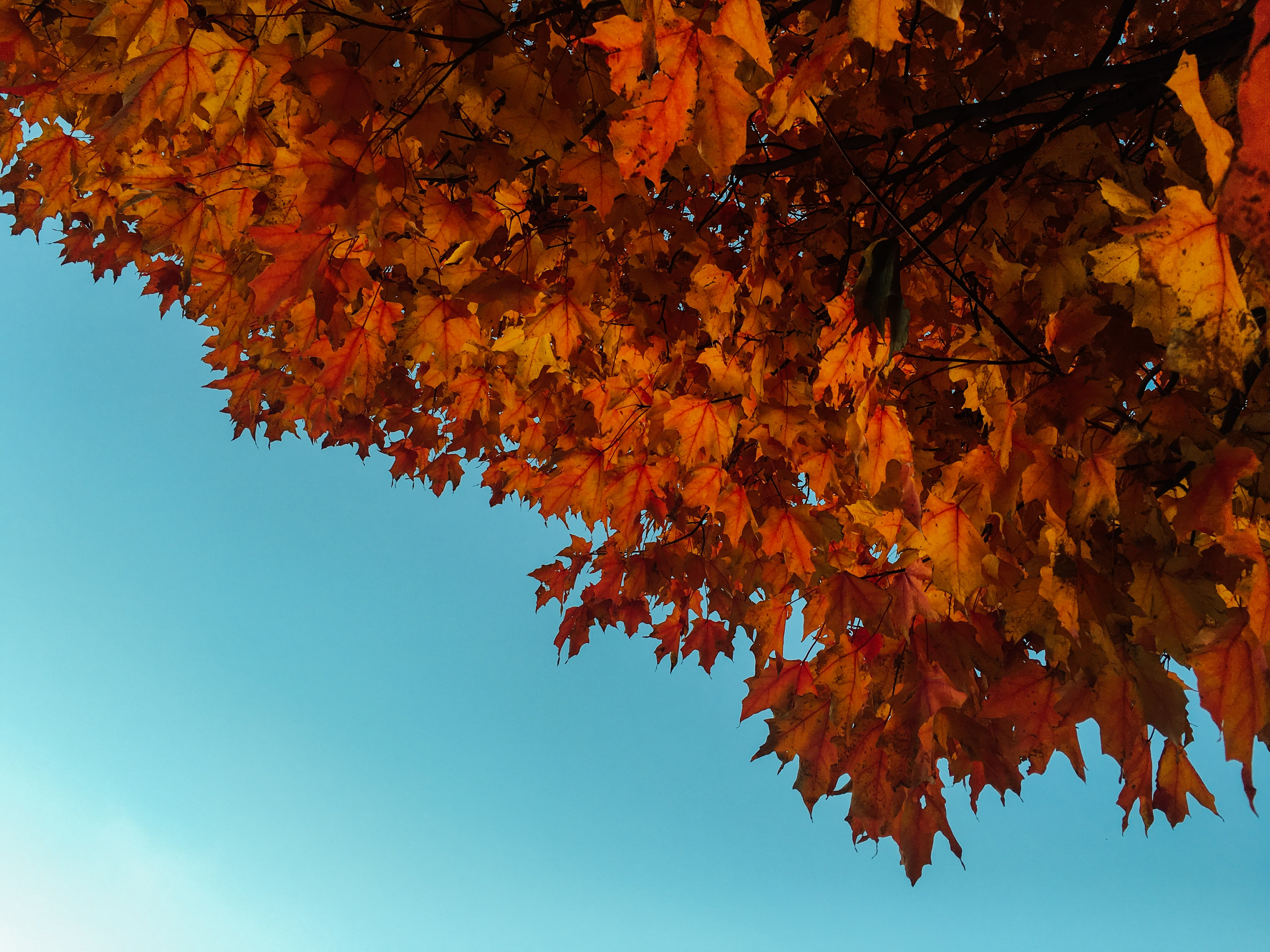 Orange maple leaves and fall foilage against the blue sky