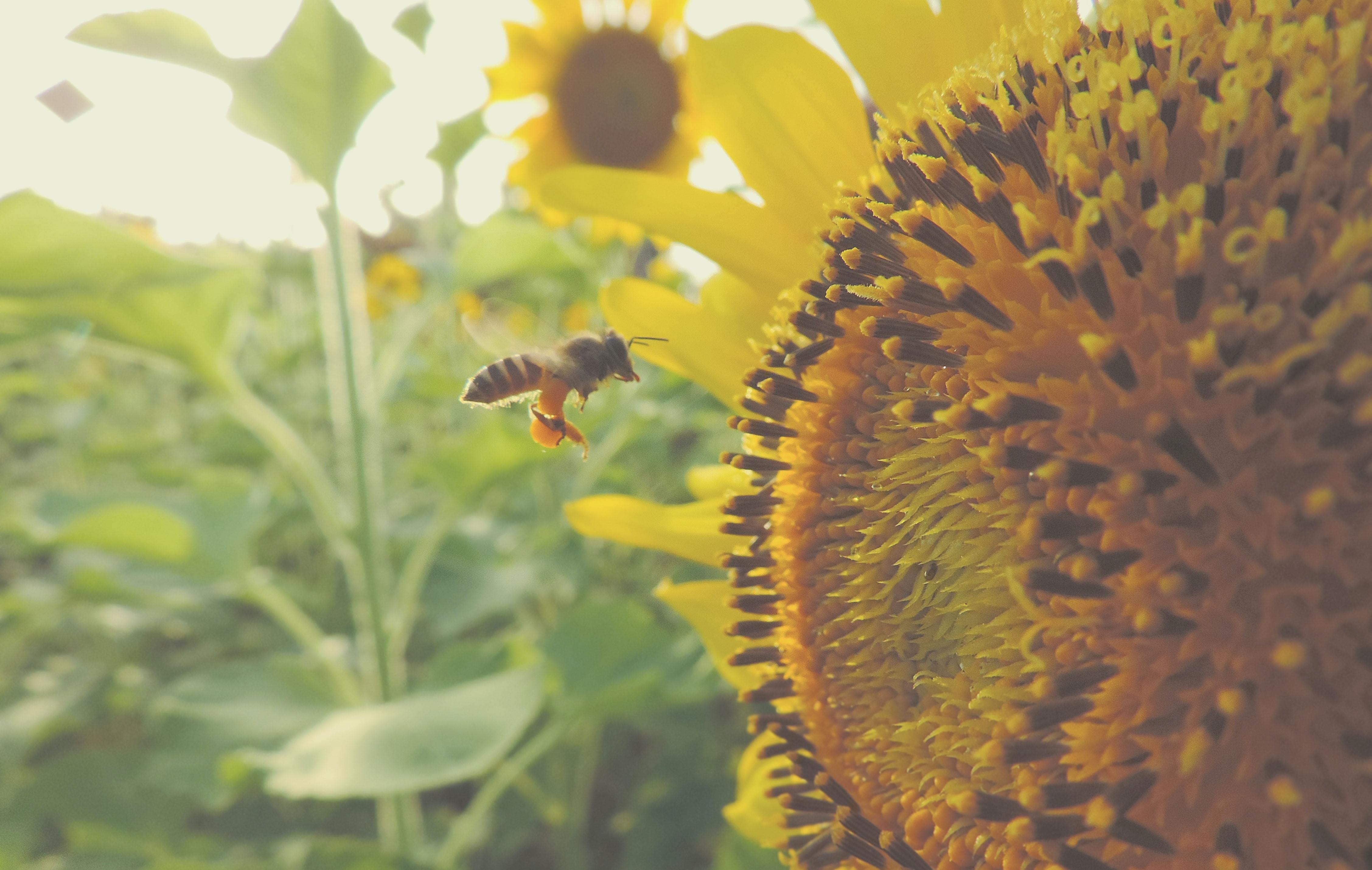 A bee in flight near a large sunflower head