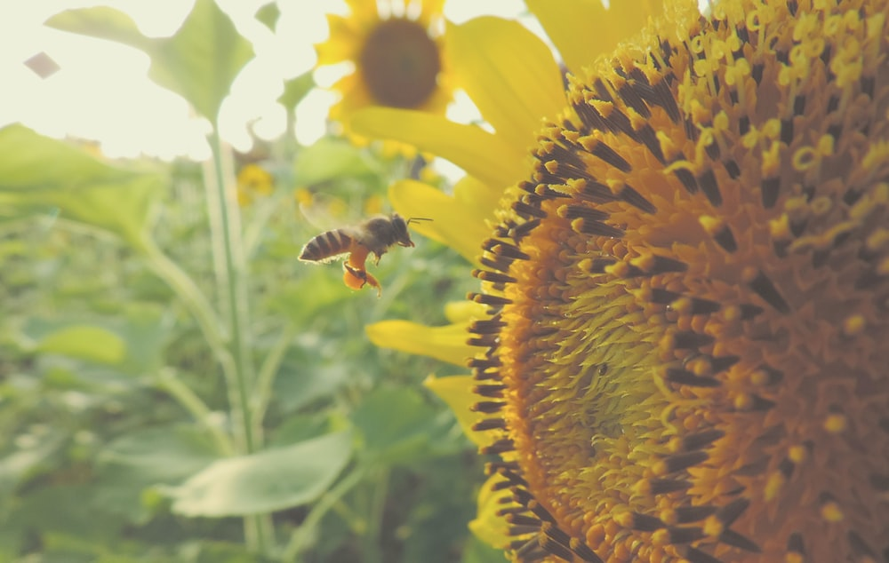 time lapse photography of flying bee near sunflower