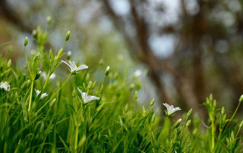 white petaled flowers blooms at daytime