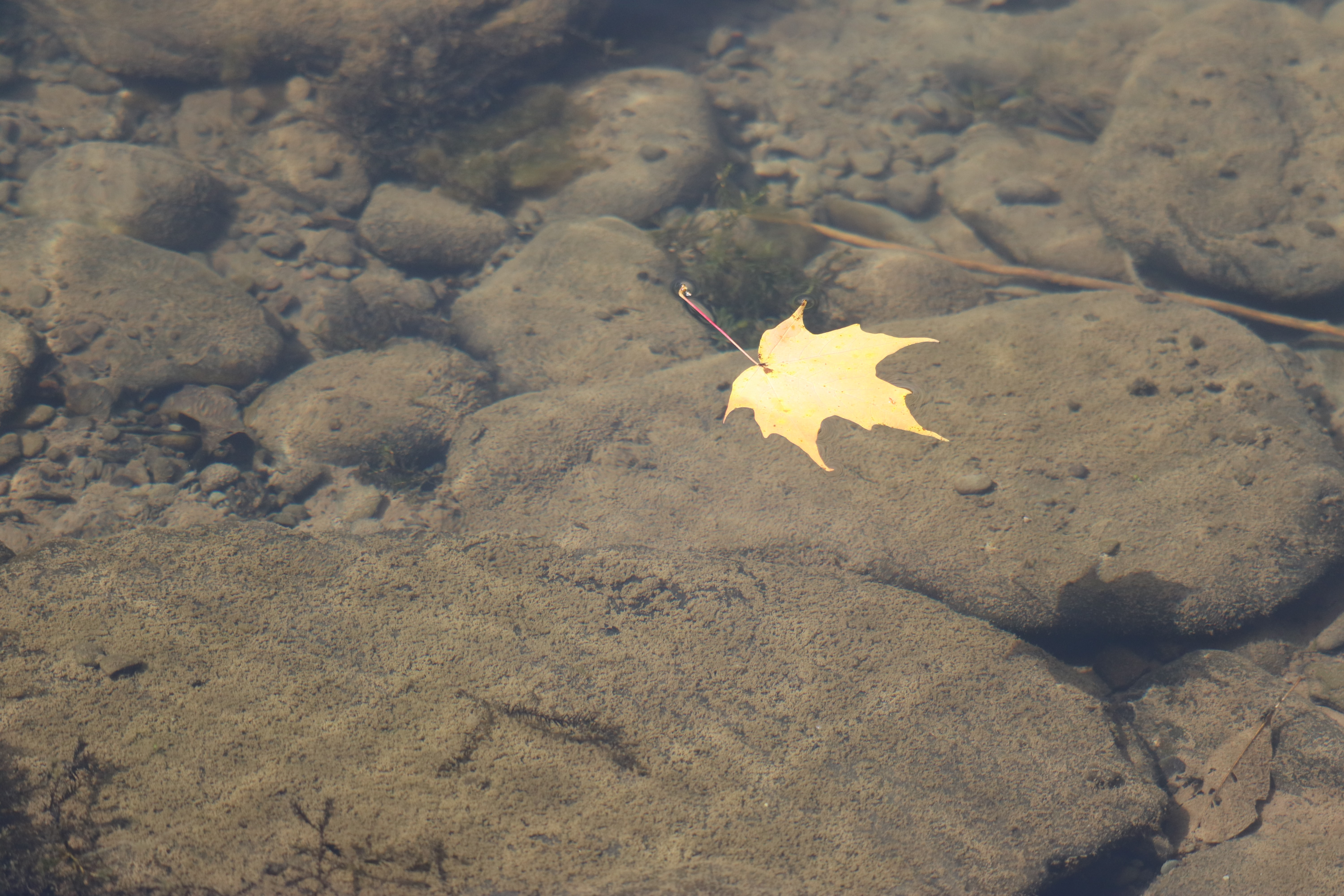 brown maple leaf floating above calm body of water