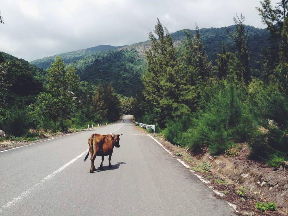 cow walking in the middle of road between trees leading to mountain