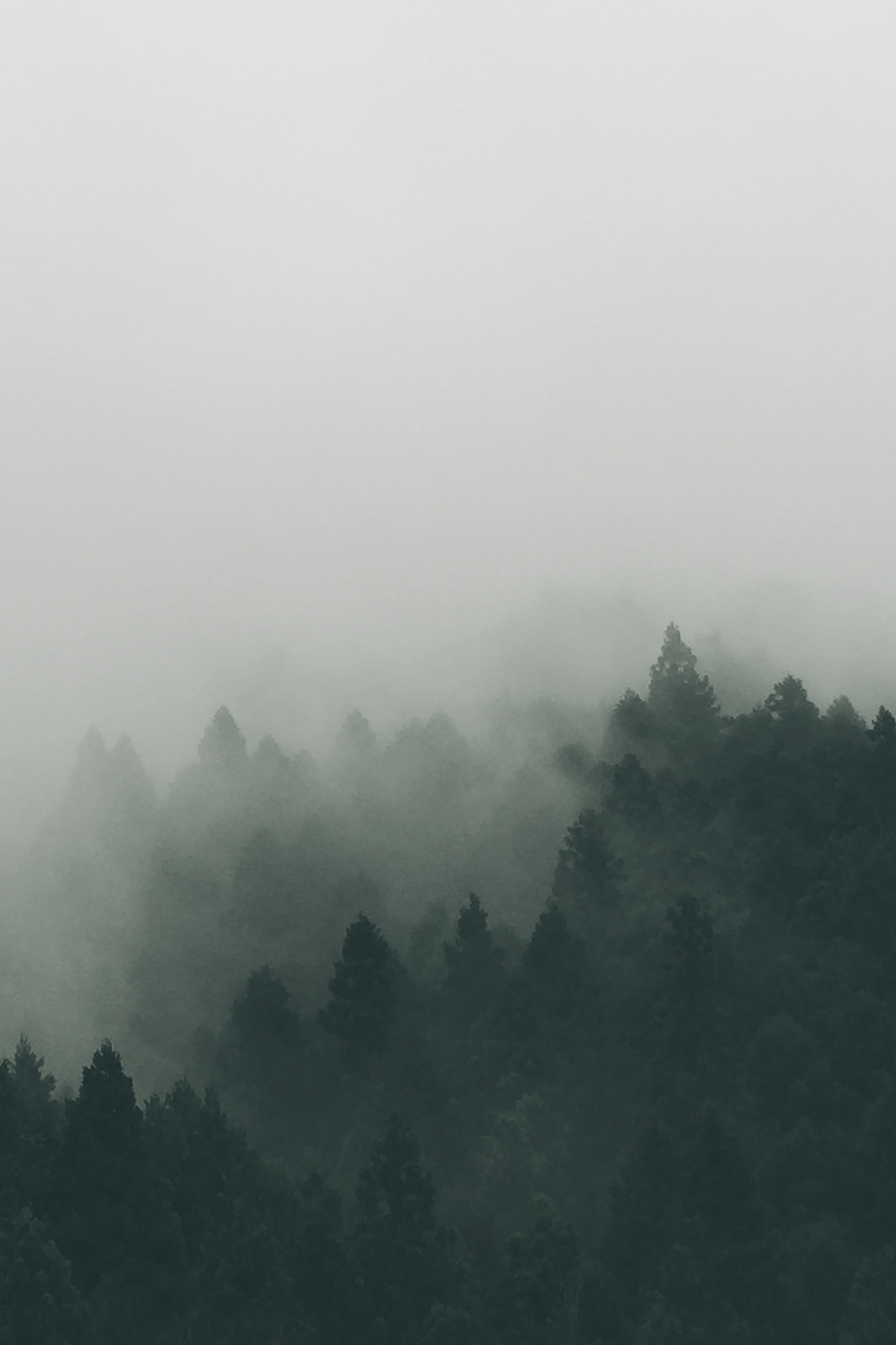 Dark silhouettes of evergreen trees under a heavy fog